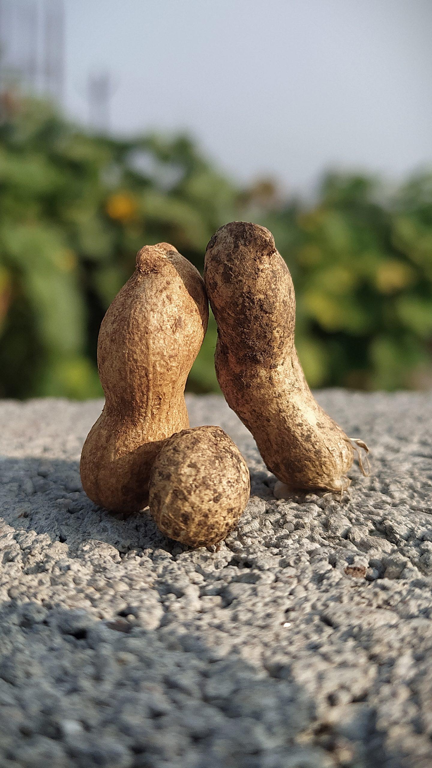 Peanuts legume