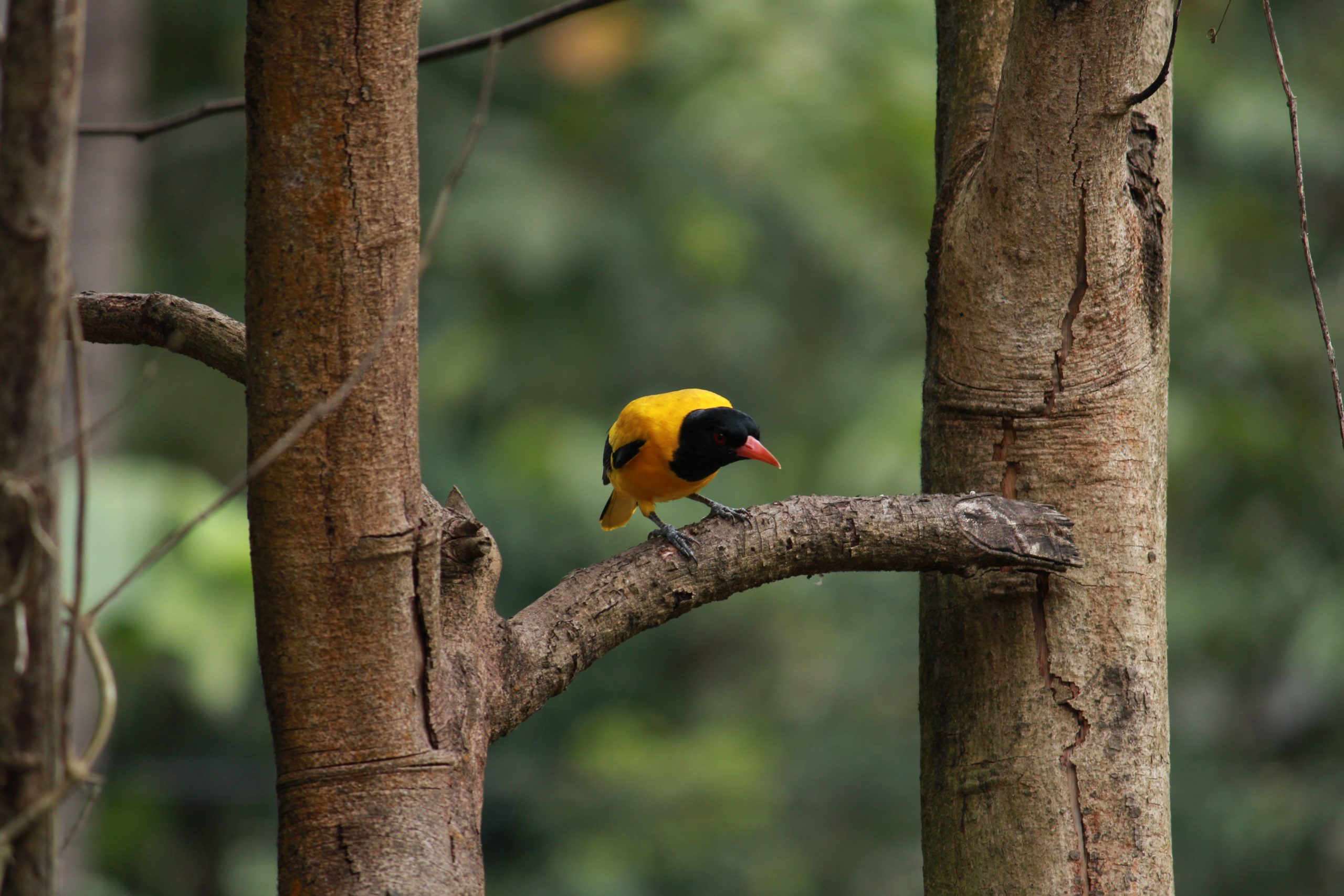 Perching Yellow Bird