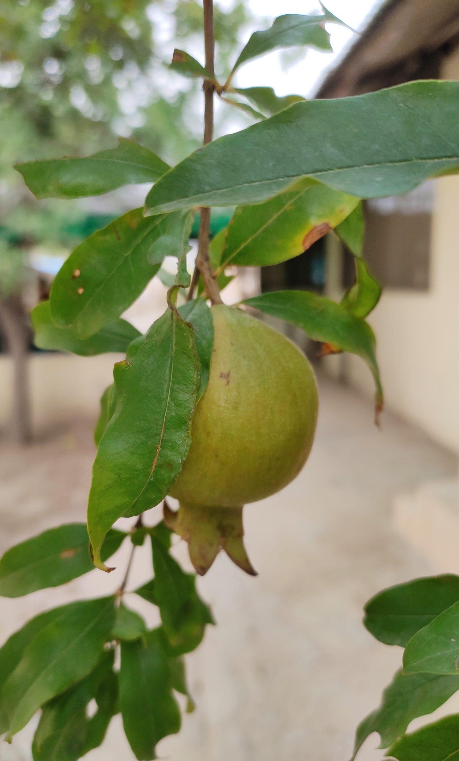 Pomegranate on its plant