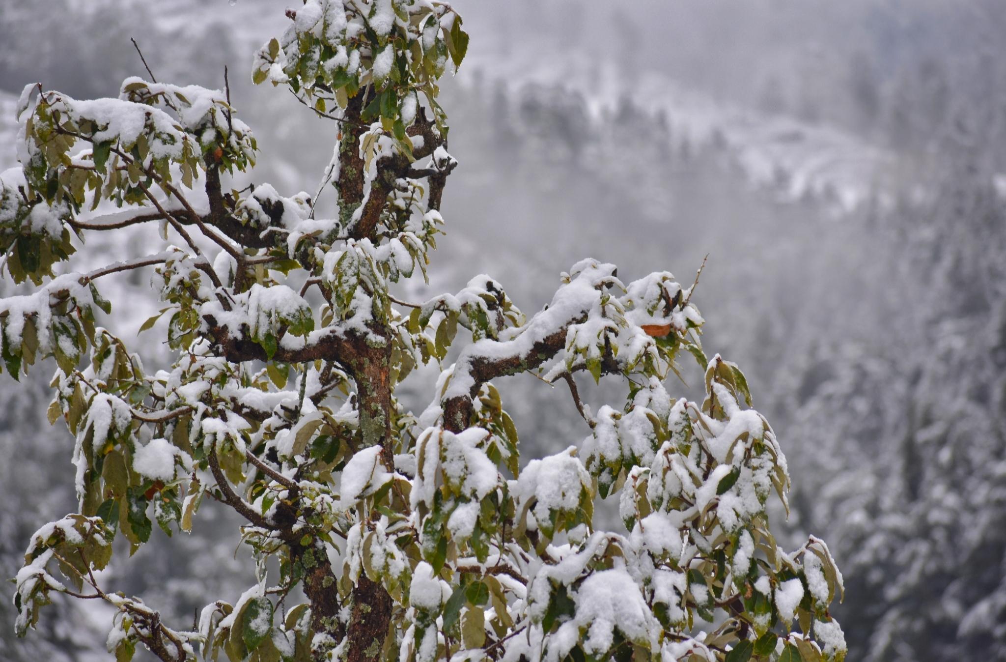 Snowfall on tree