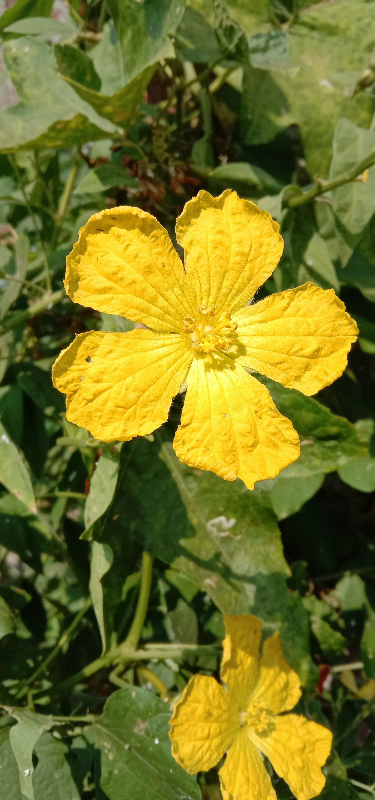 Sponge gourd flower Close-up