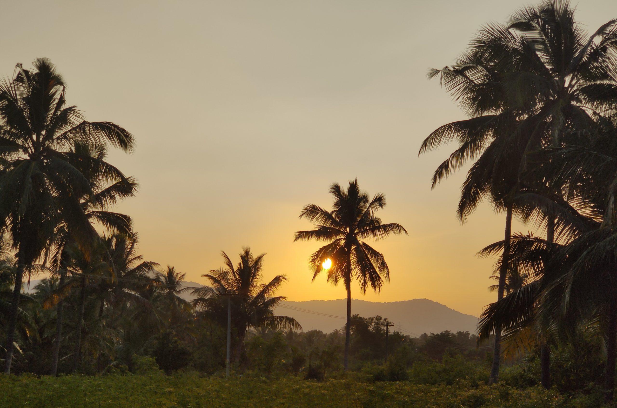 Sun rising through palm trees