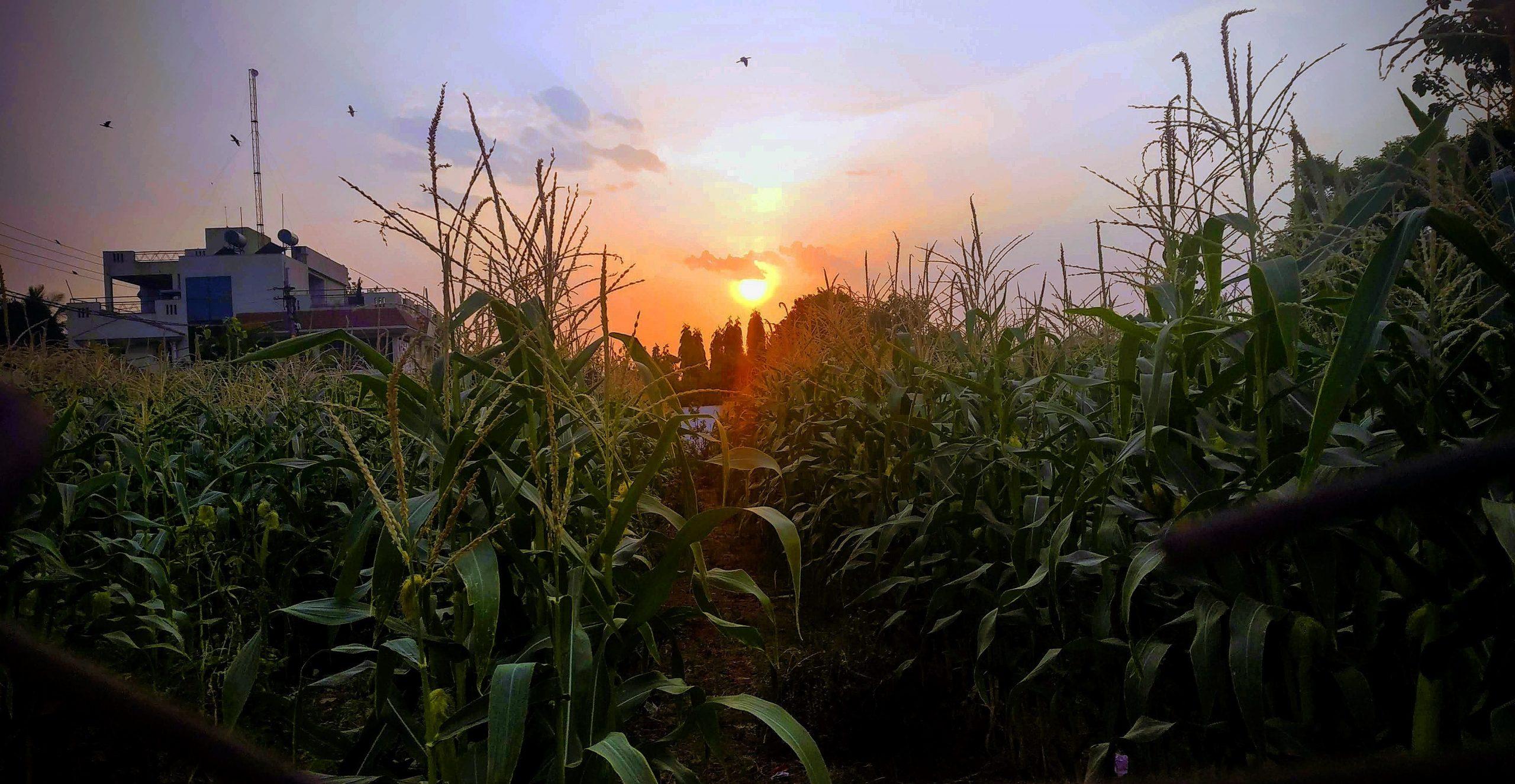 Sunset through corn plants