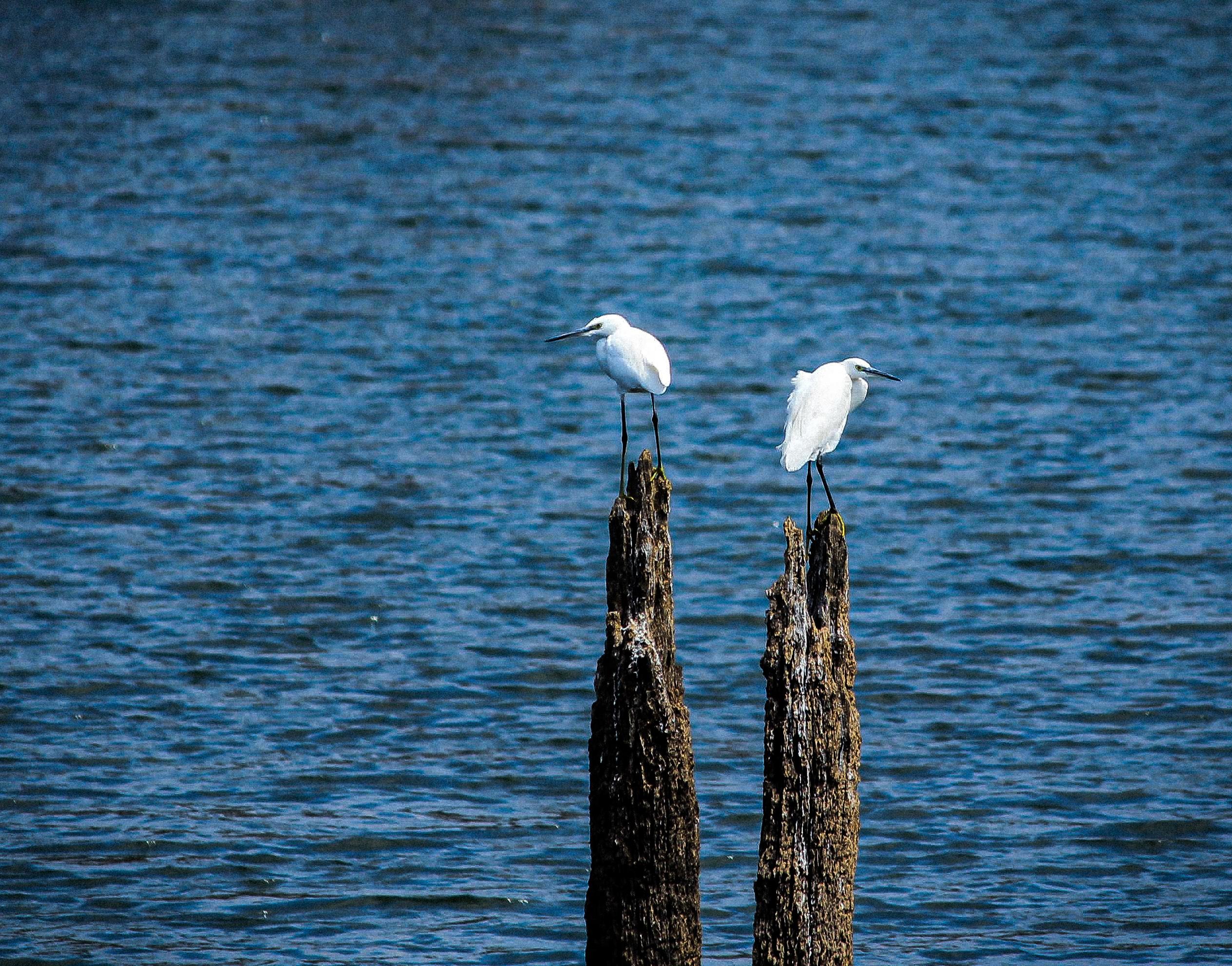 Egrets sitting on wood