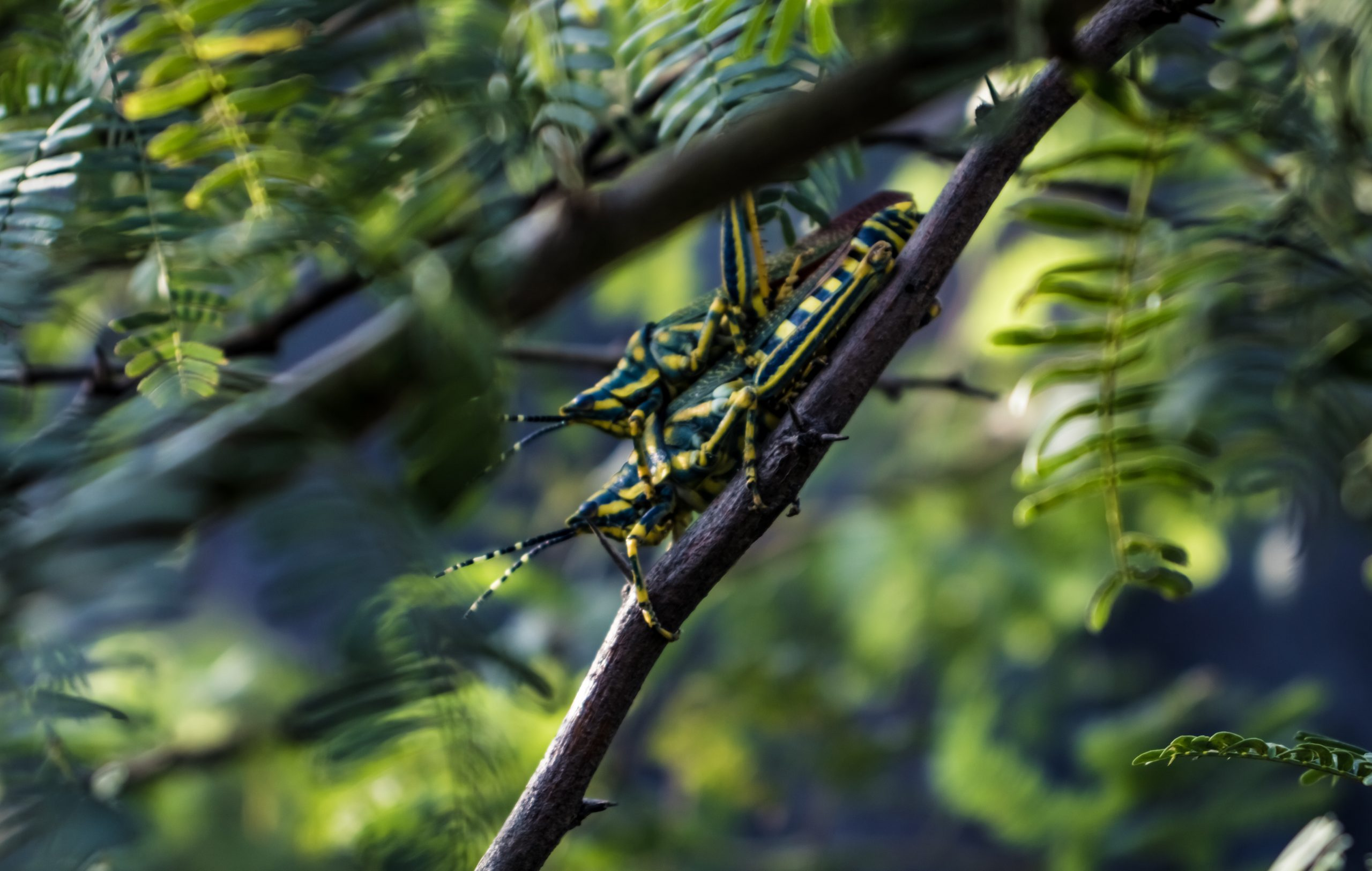 Two insects mating on a branch