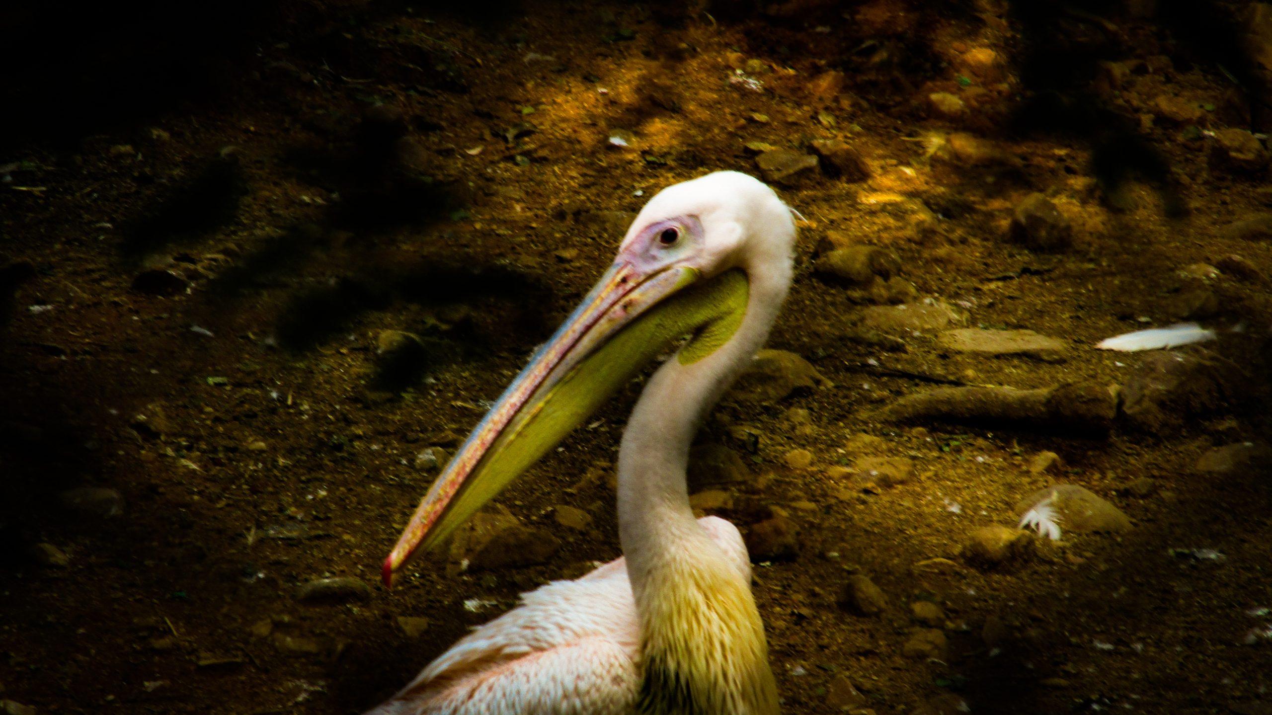A stork bird