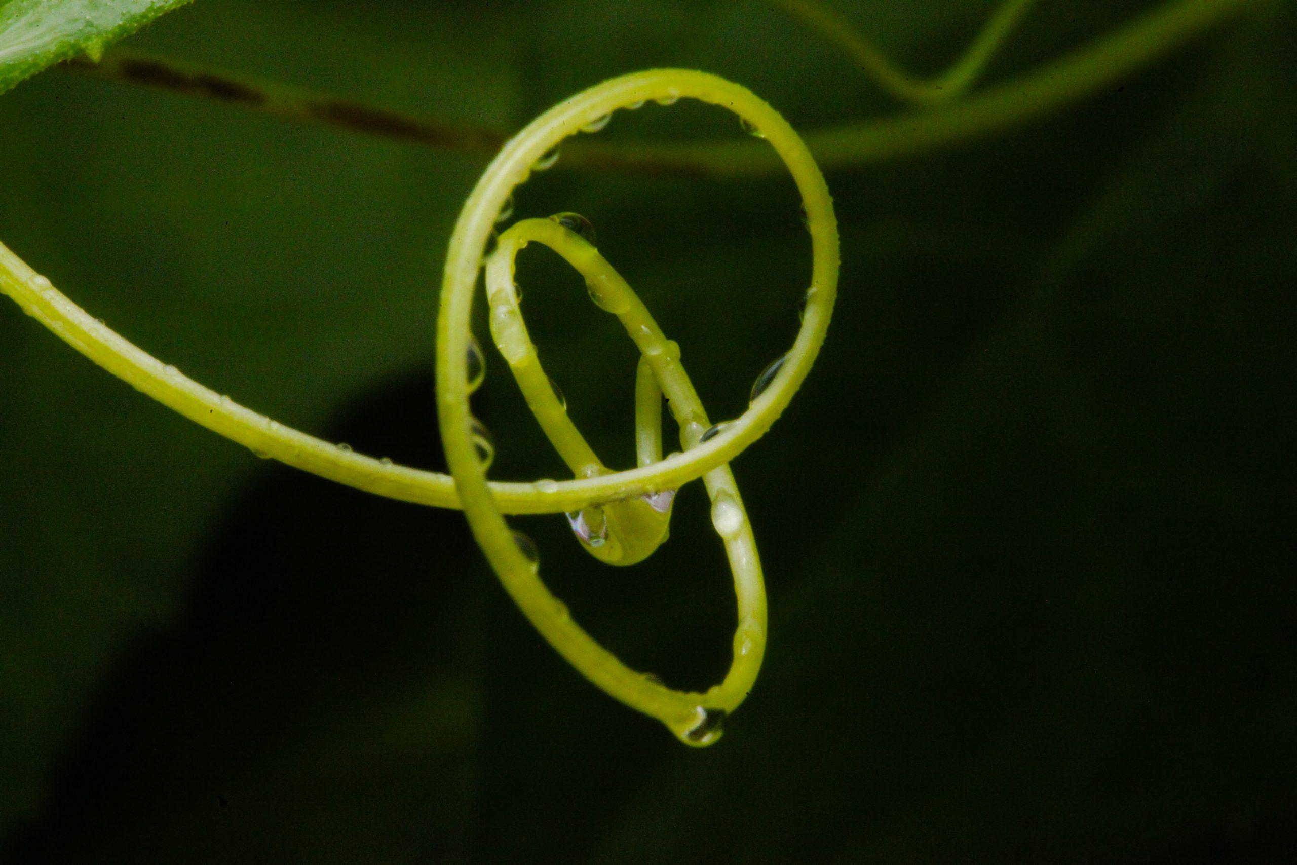 Water drop on a vine