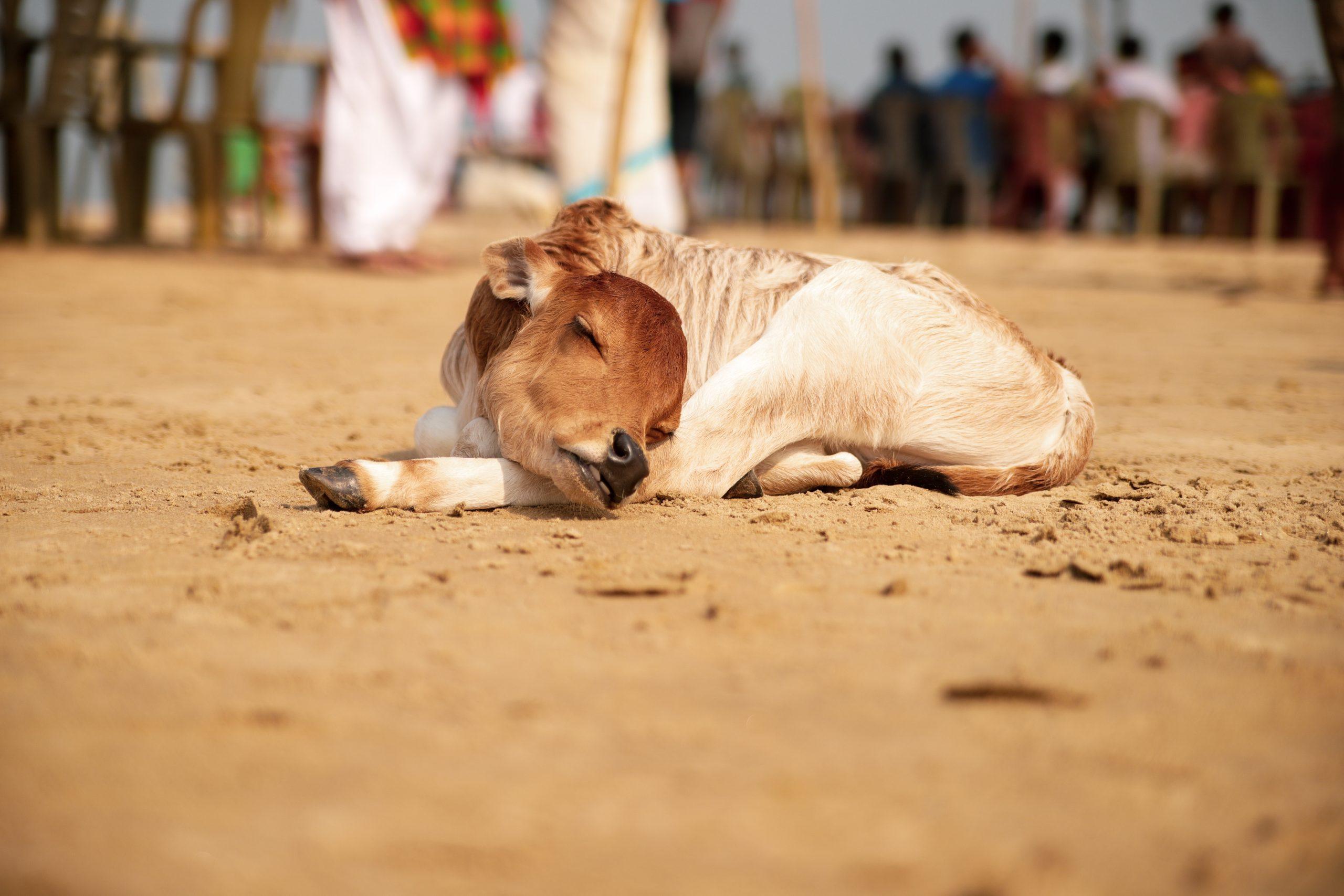 a sleeping calf