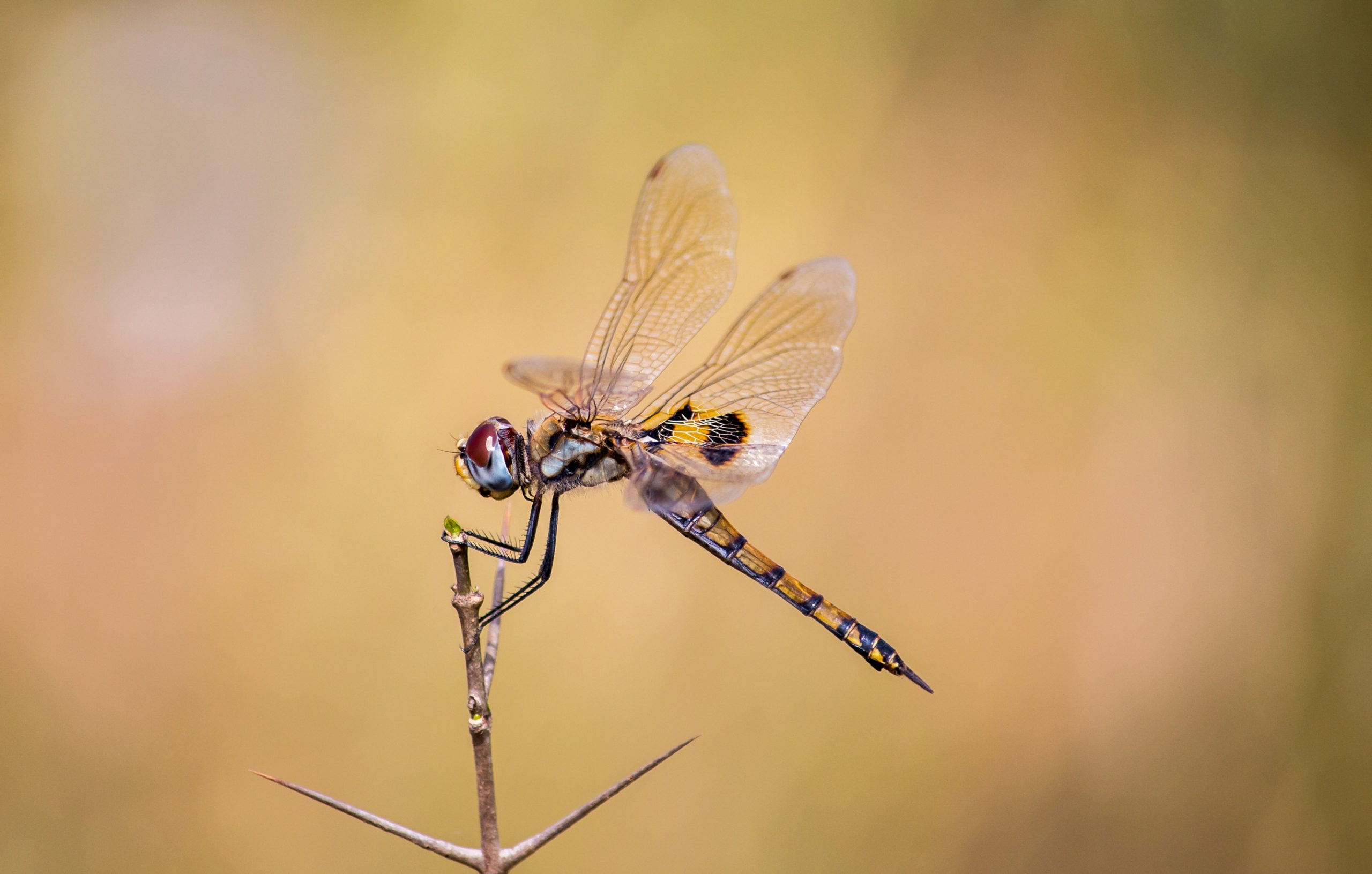 dragonfly on a twig