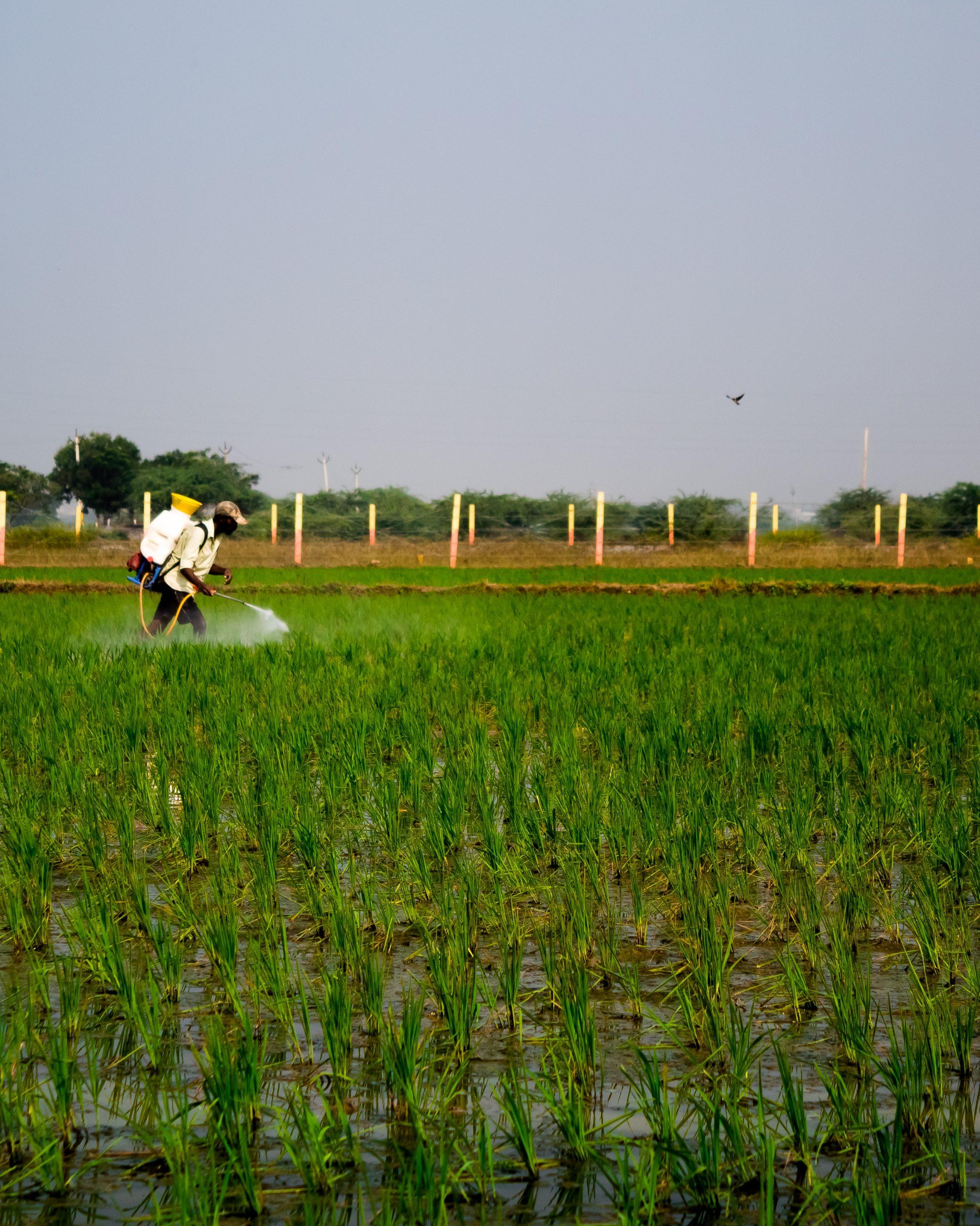 A farmer spraying pesticides in paddy field