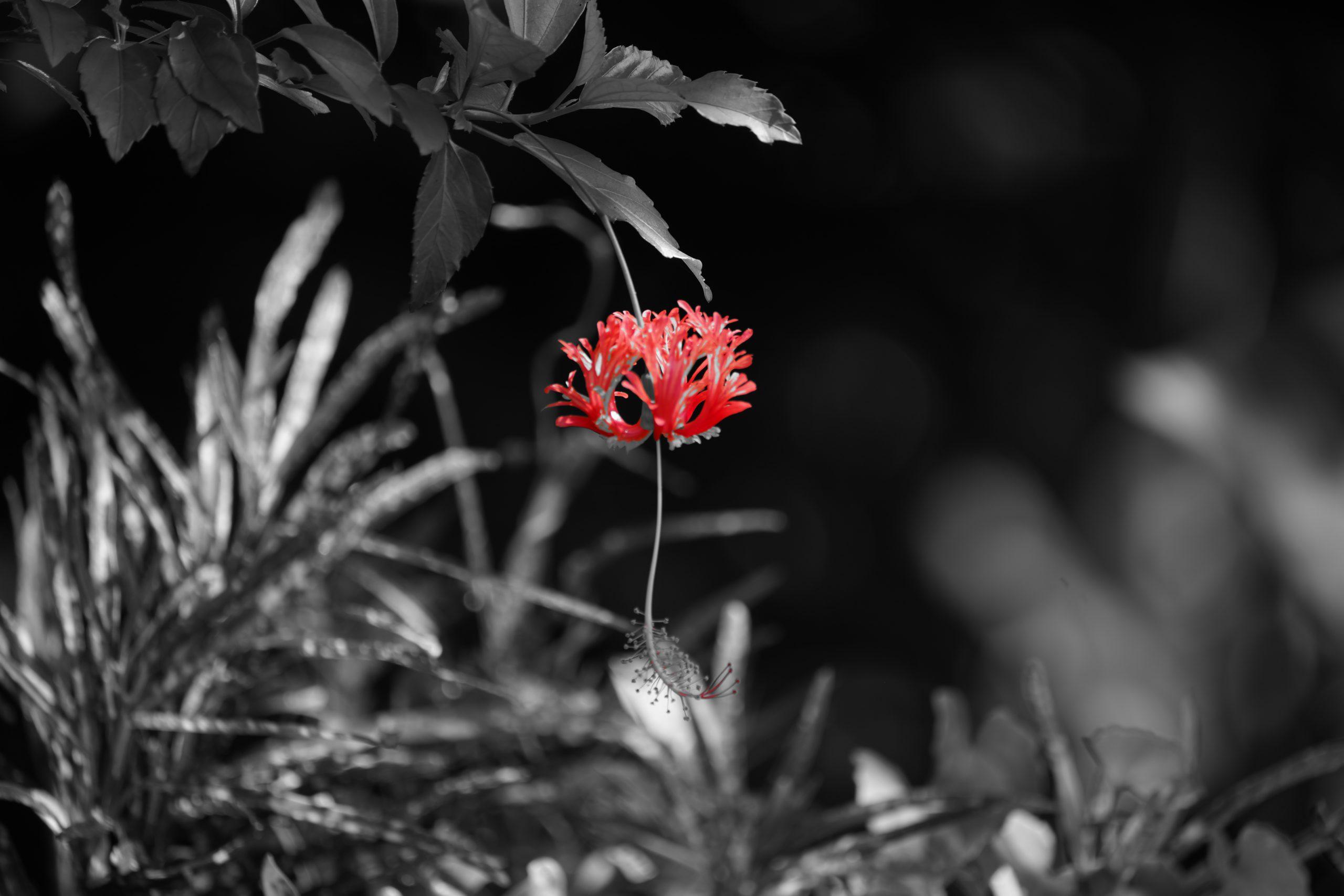 Blooming Red Flower