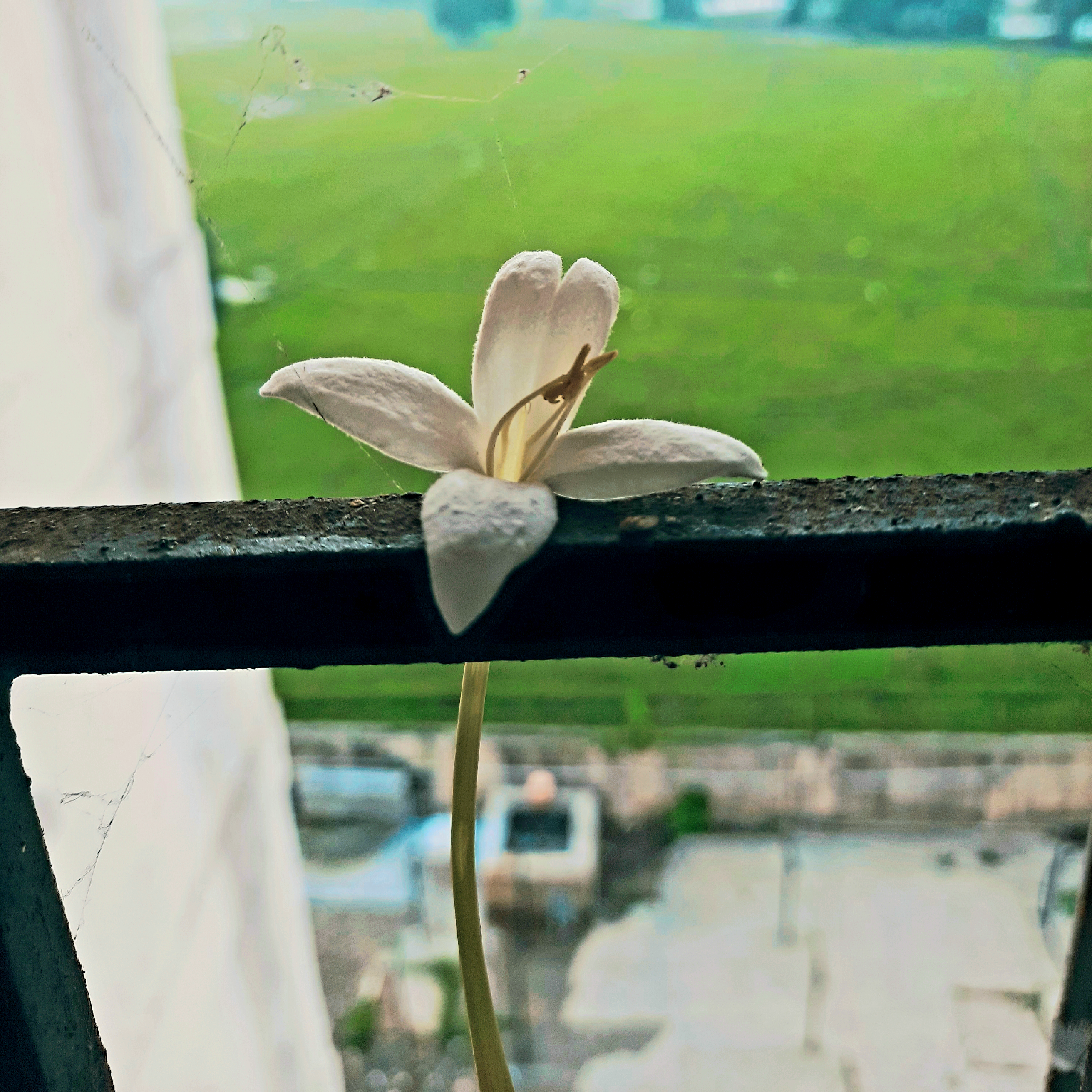 White Flower hanging at the window