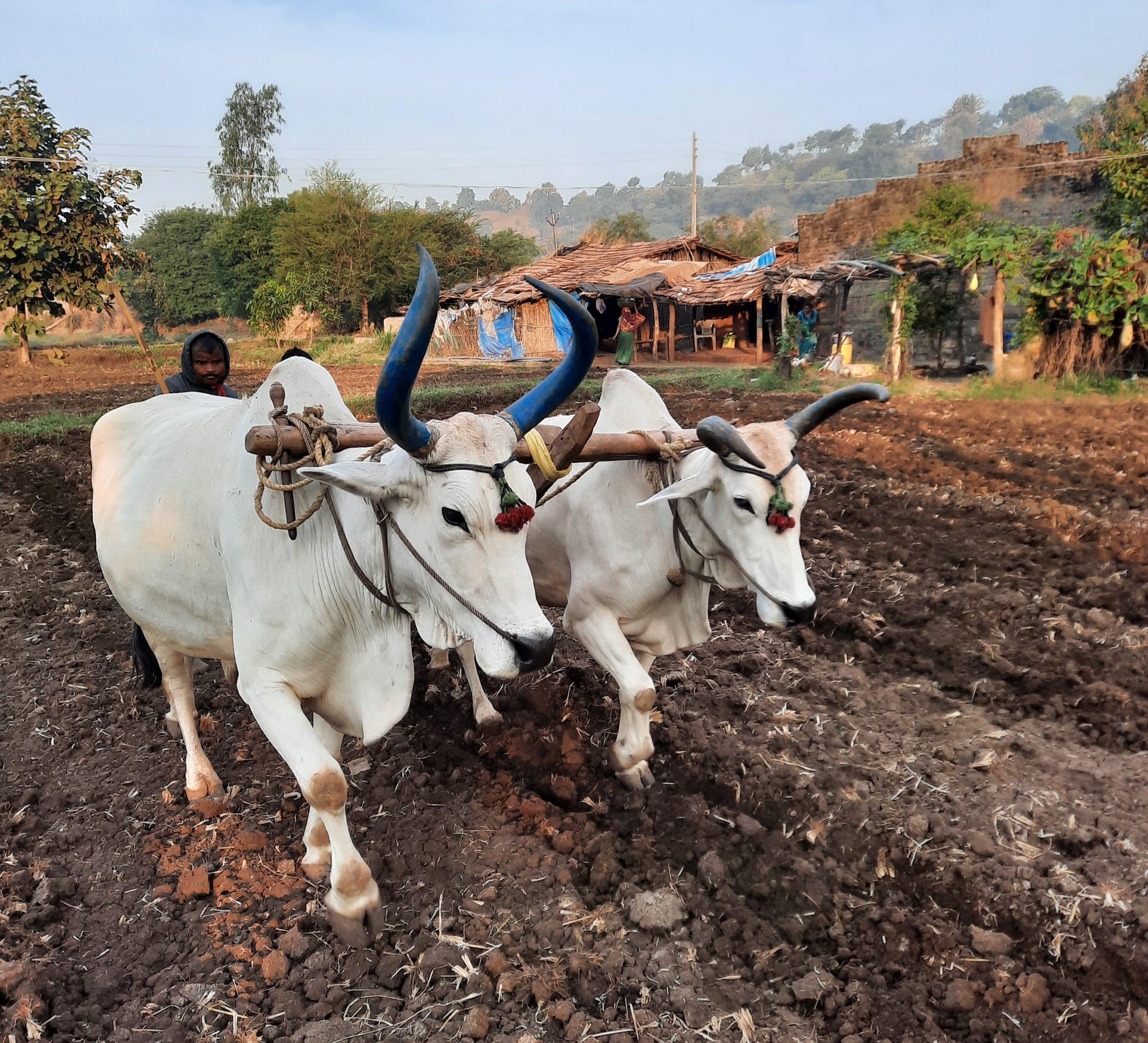 A Farmer cultivating field