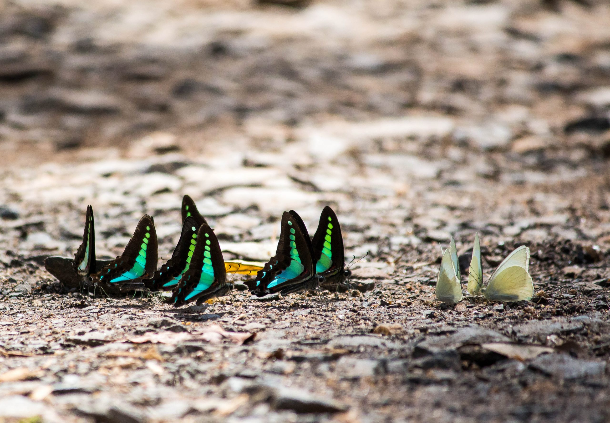 butterflies on the ground