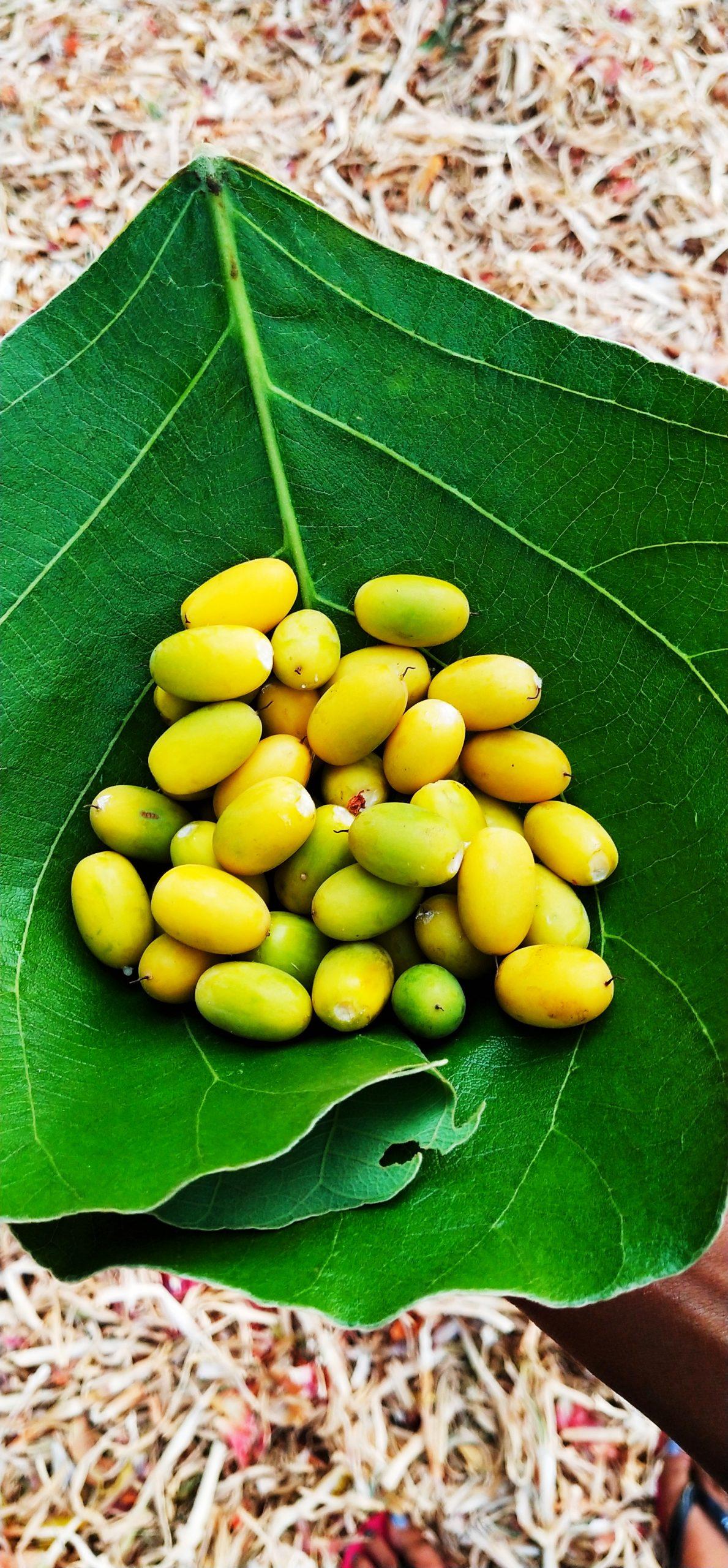 Manilkara hexandra's berries