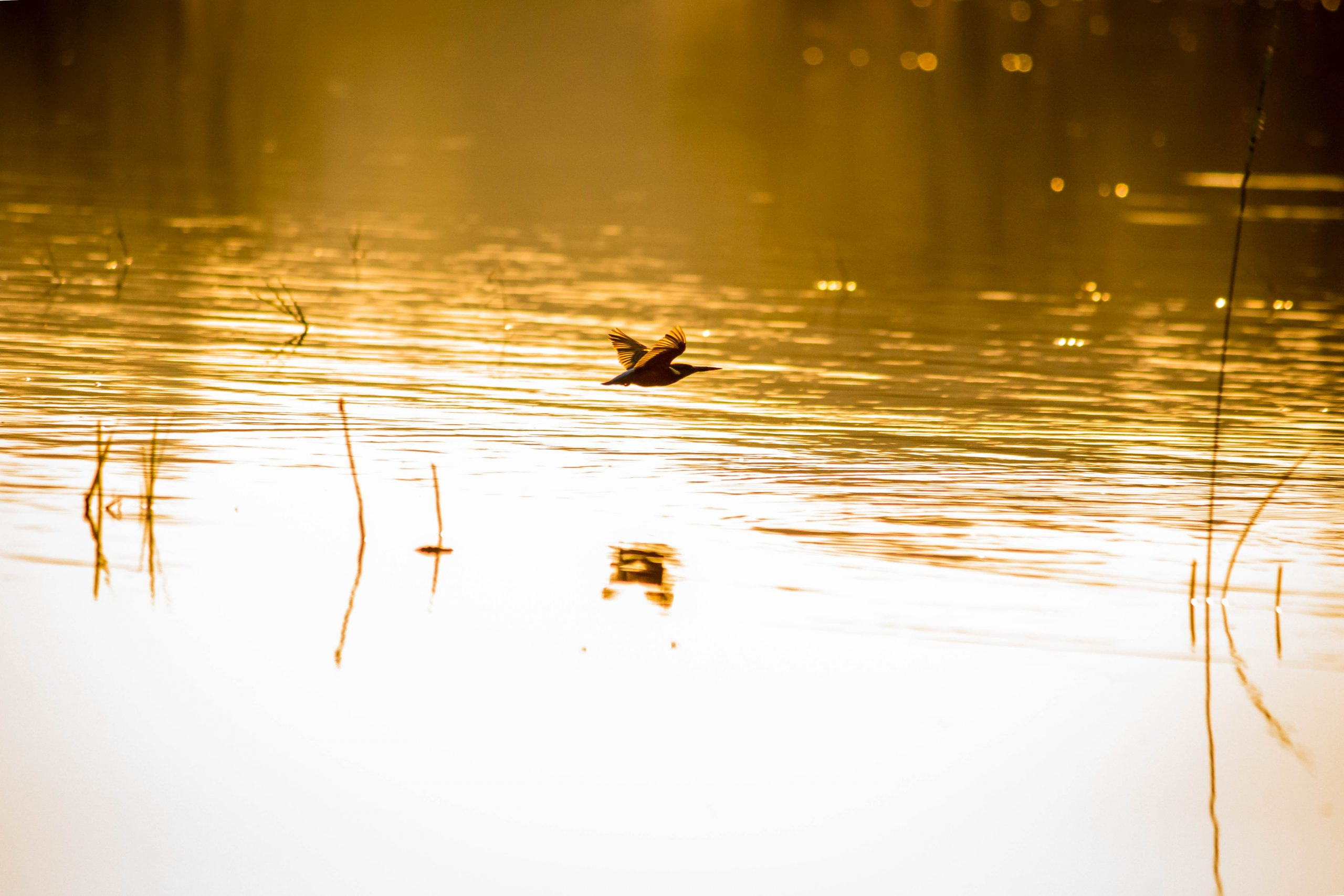 A bird flying on a pond