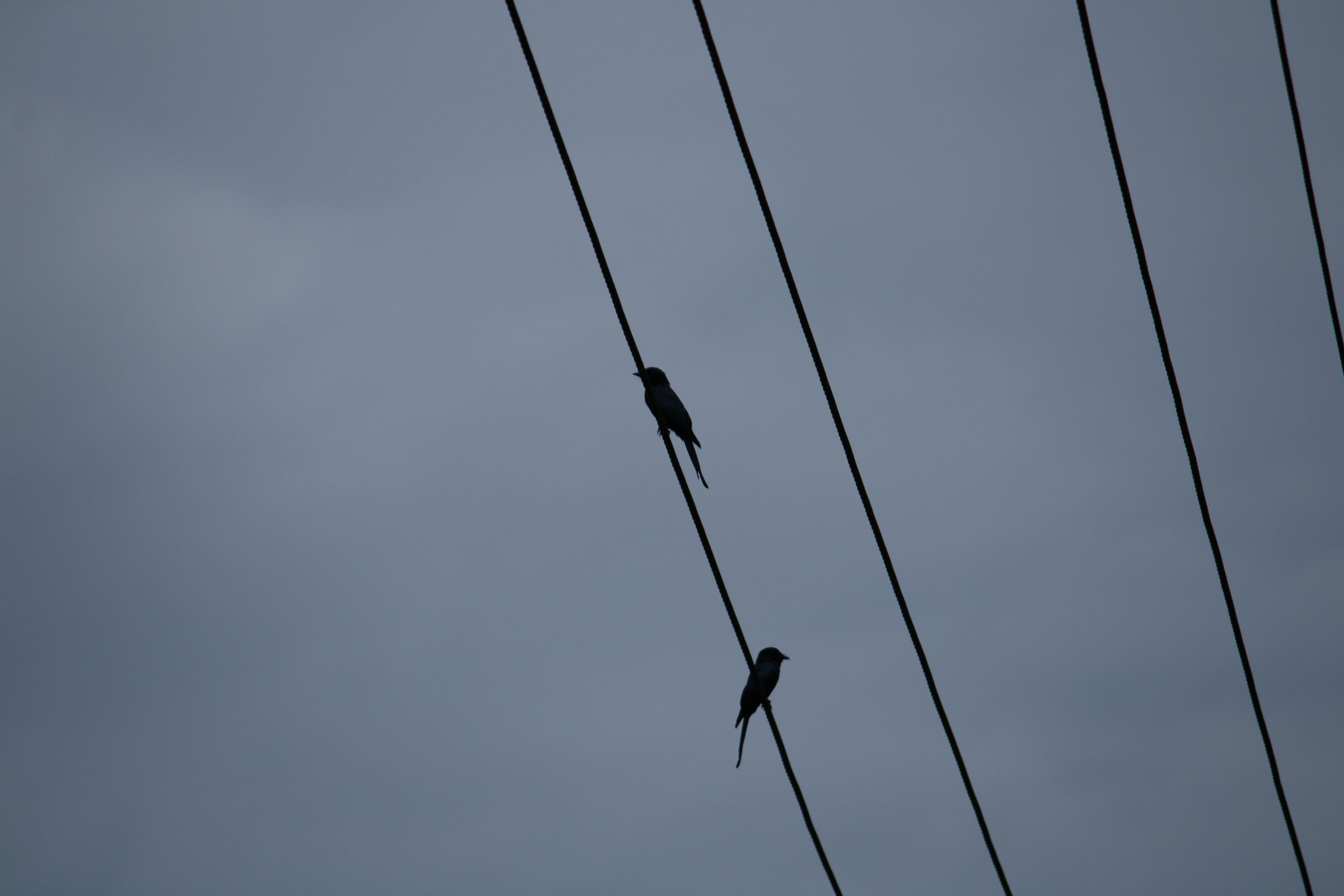 Birds sitting on electric line
