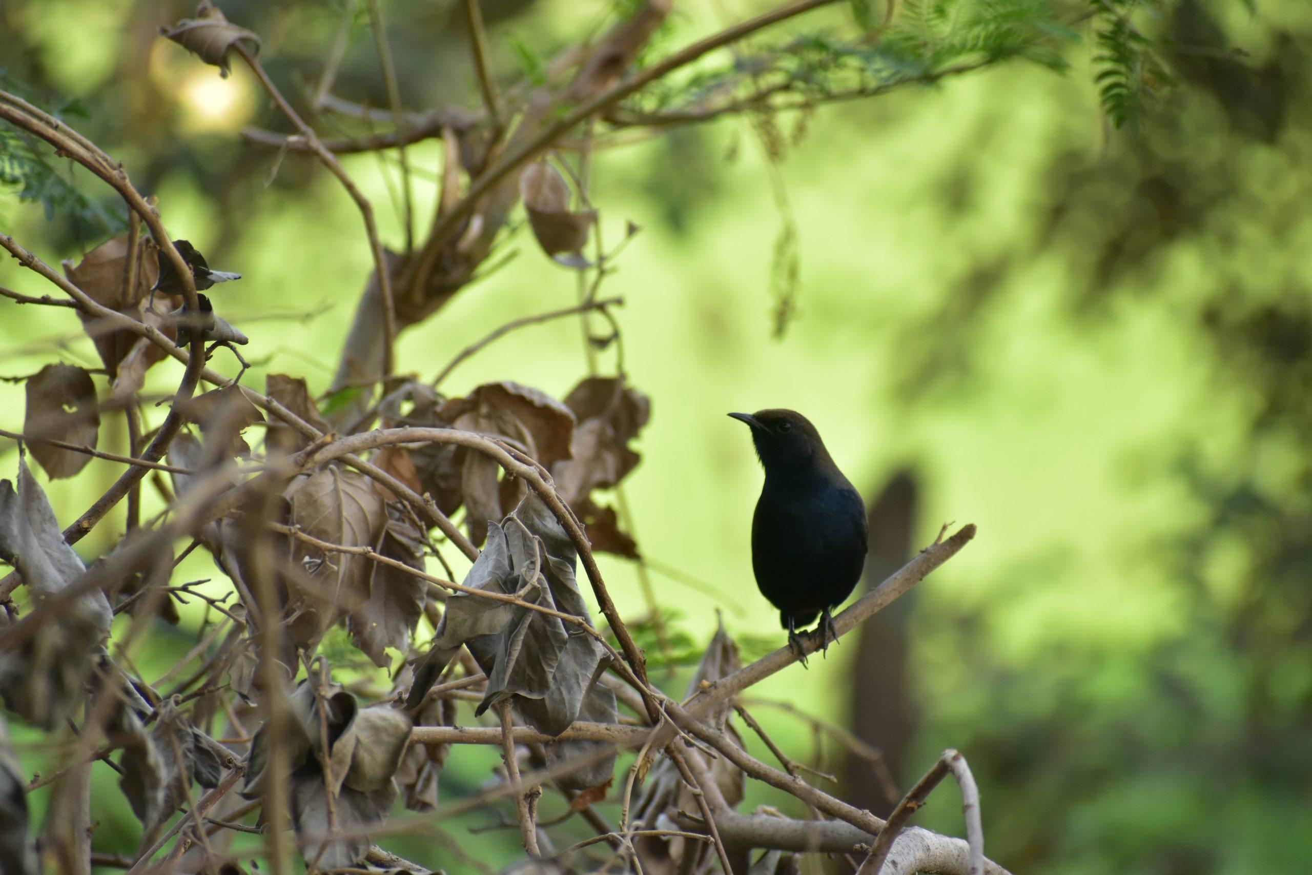 A black catbird