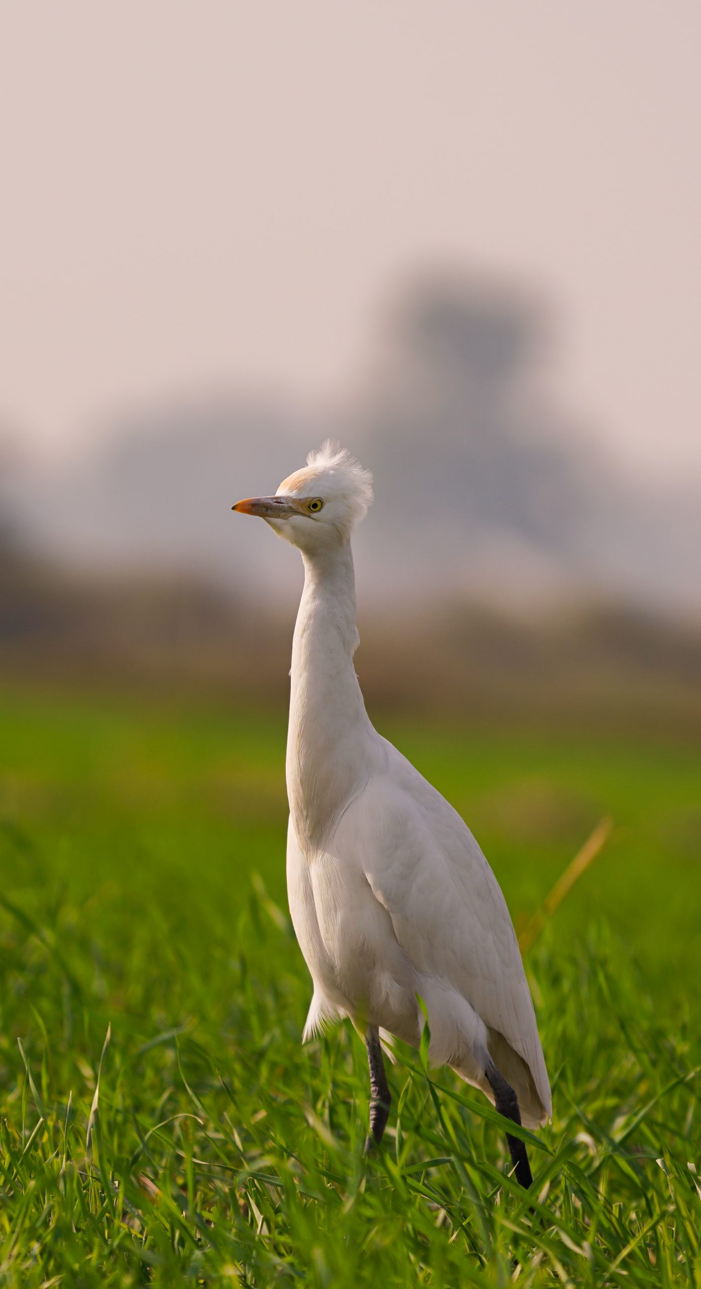 A cattle egret