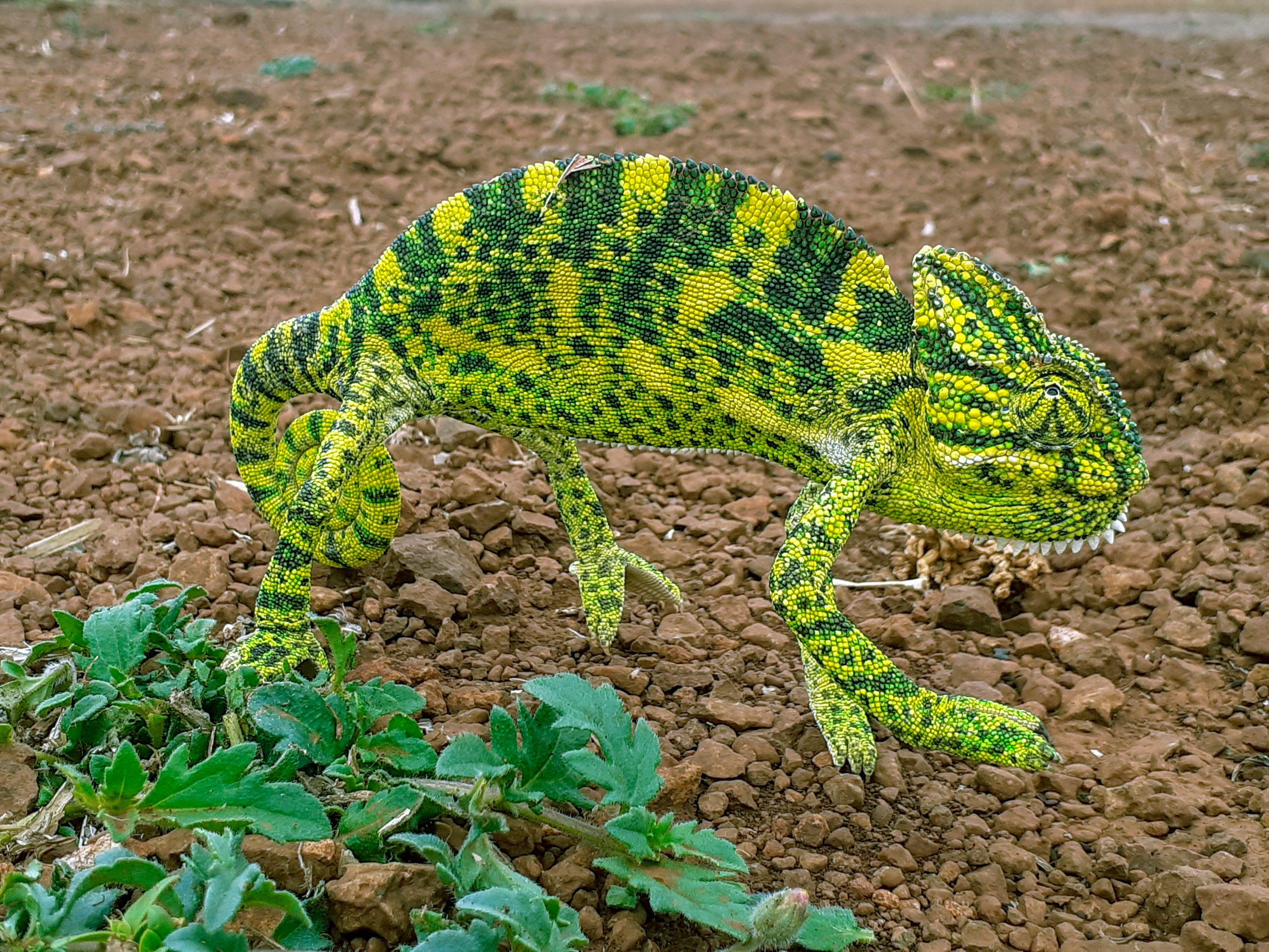 A chameleon lizard