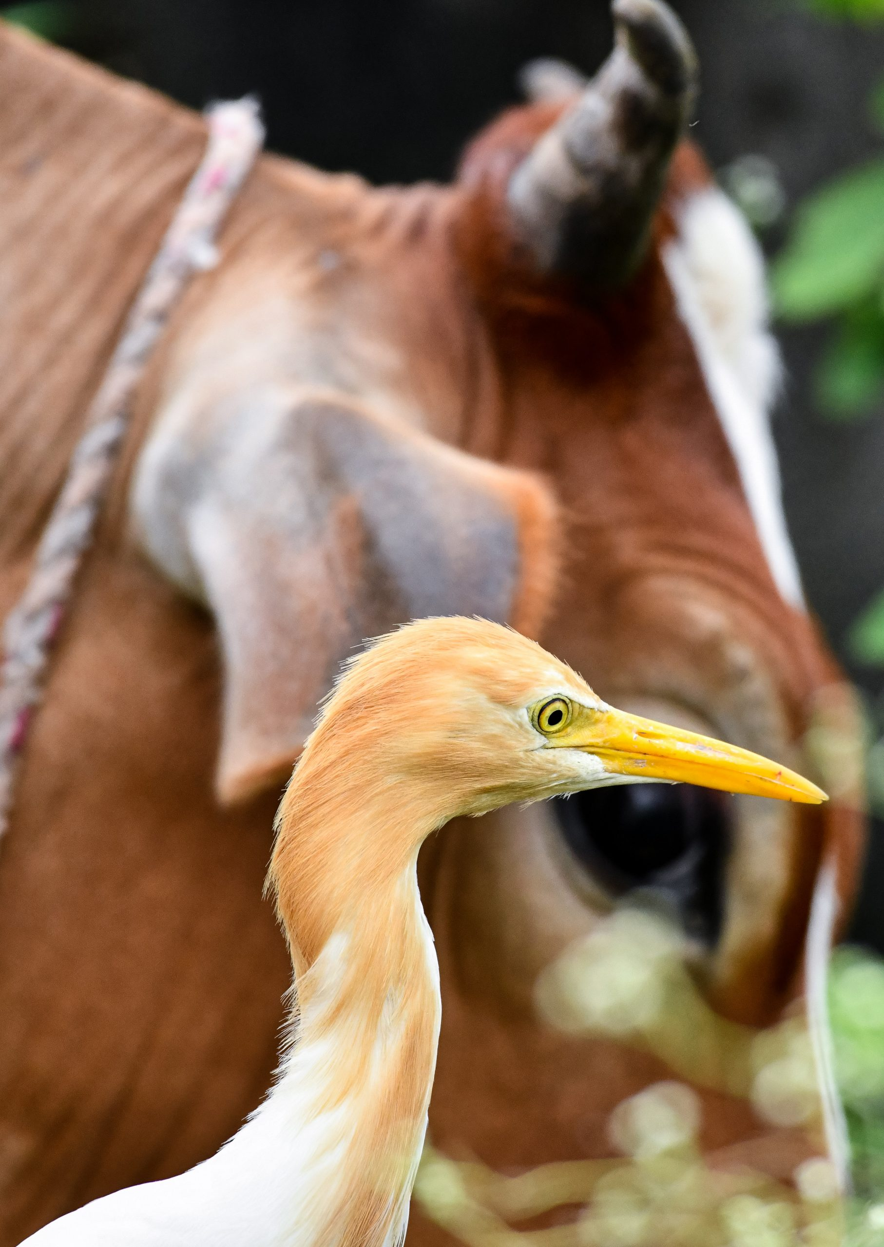 A cow and cattle egret