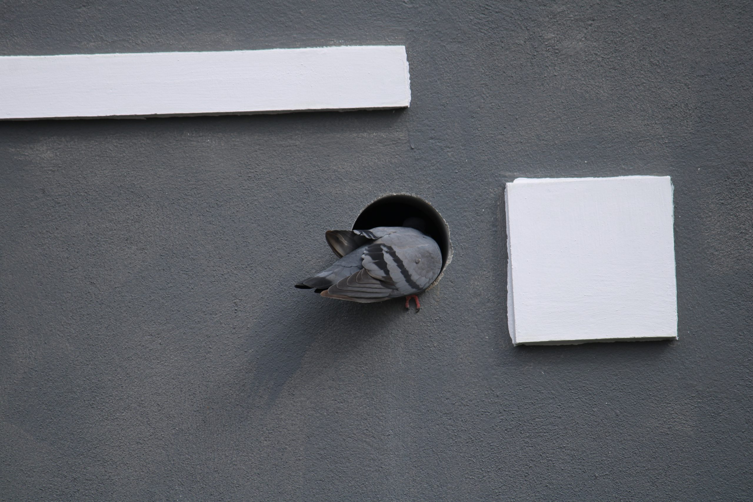 A dove entering in a pipe