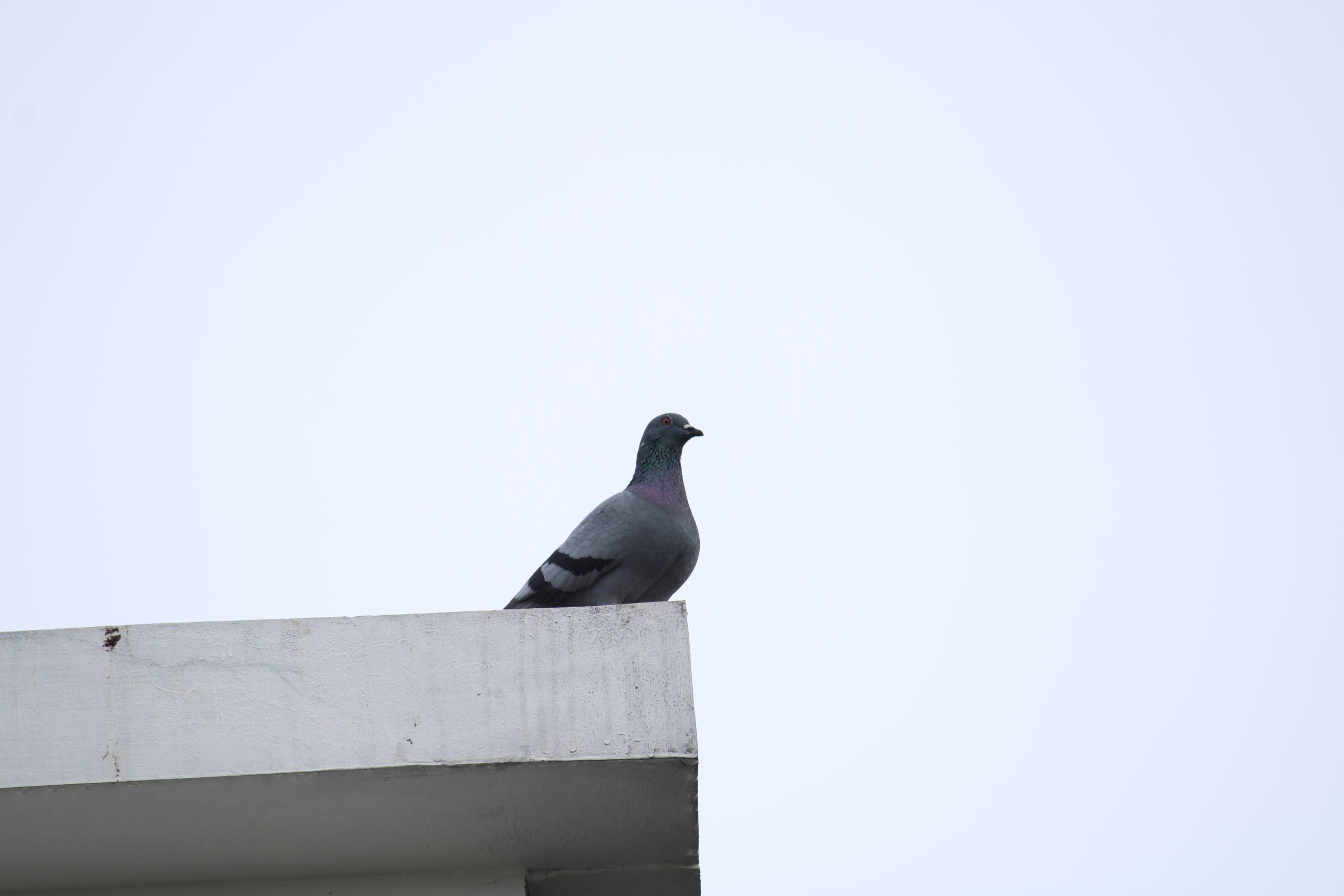 A dove sitting