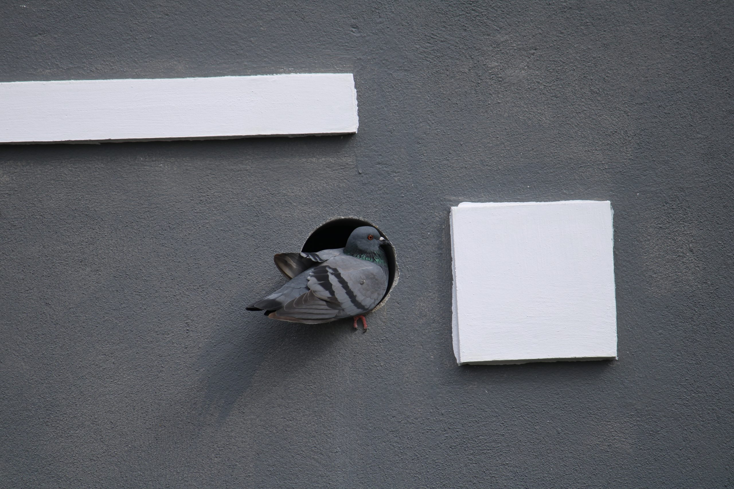 A dove entering into a pipe