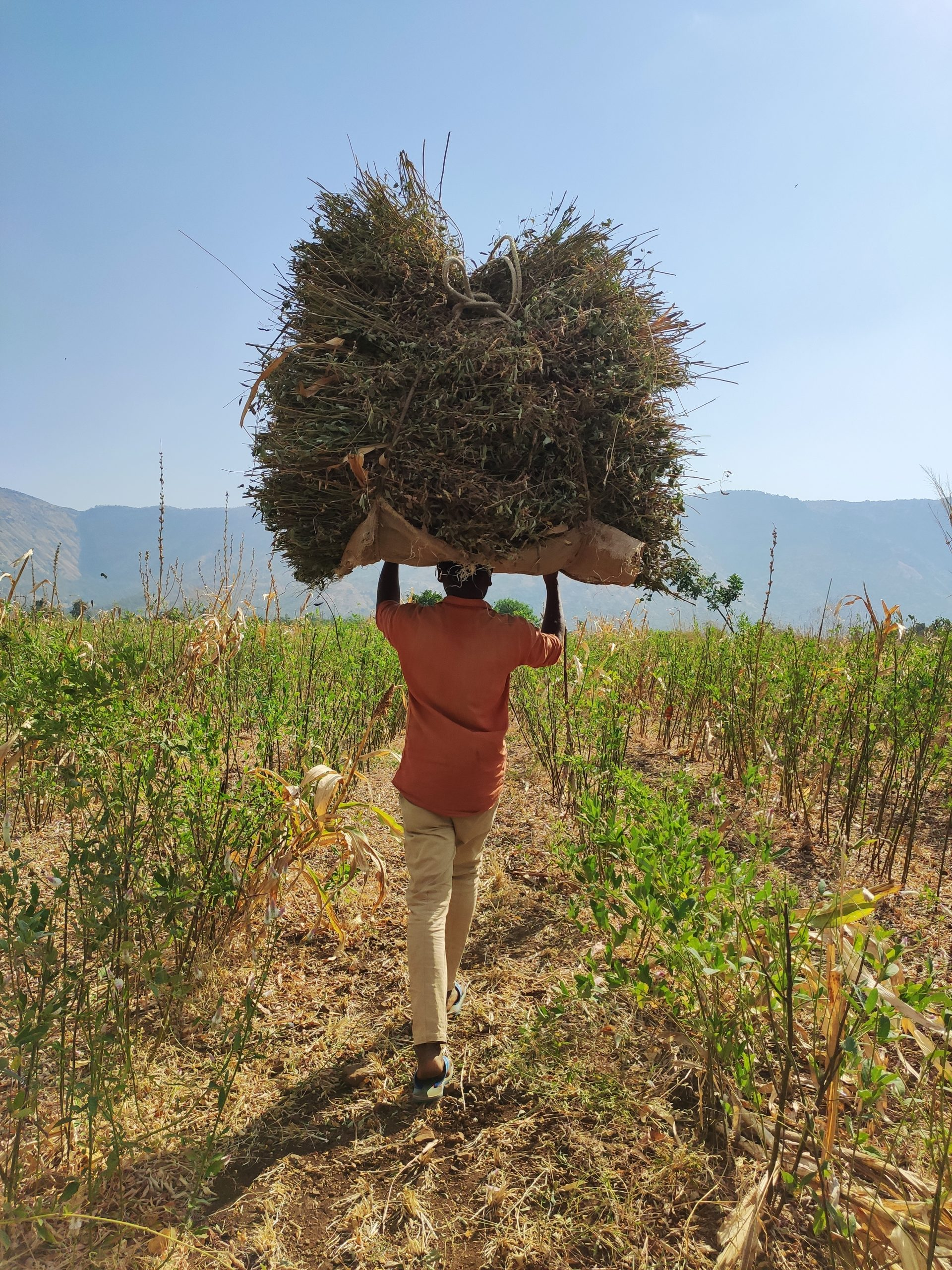 A farmer carrying a pile of grass