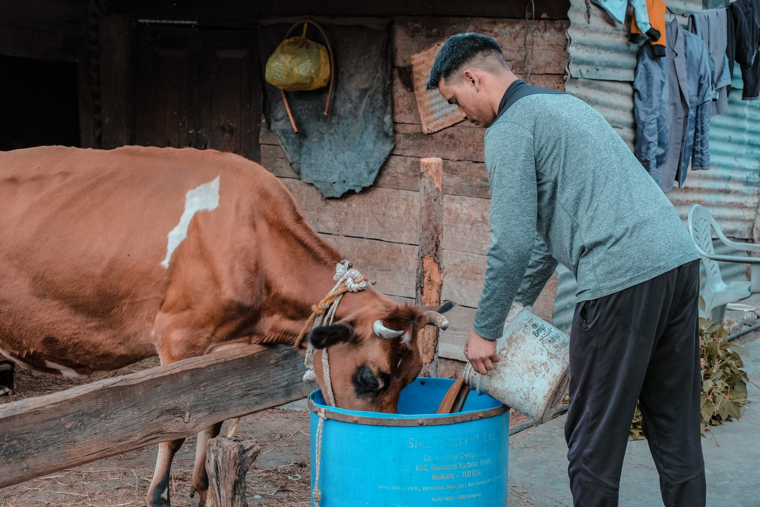 A farmer feeding to a cow