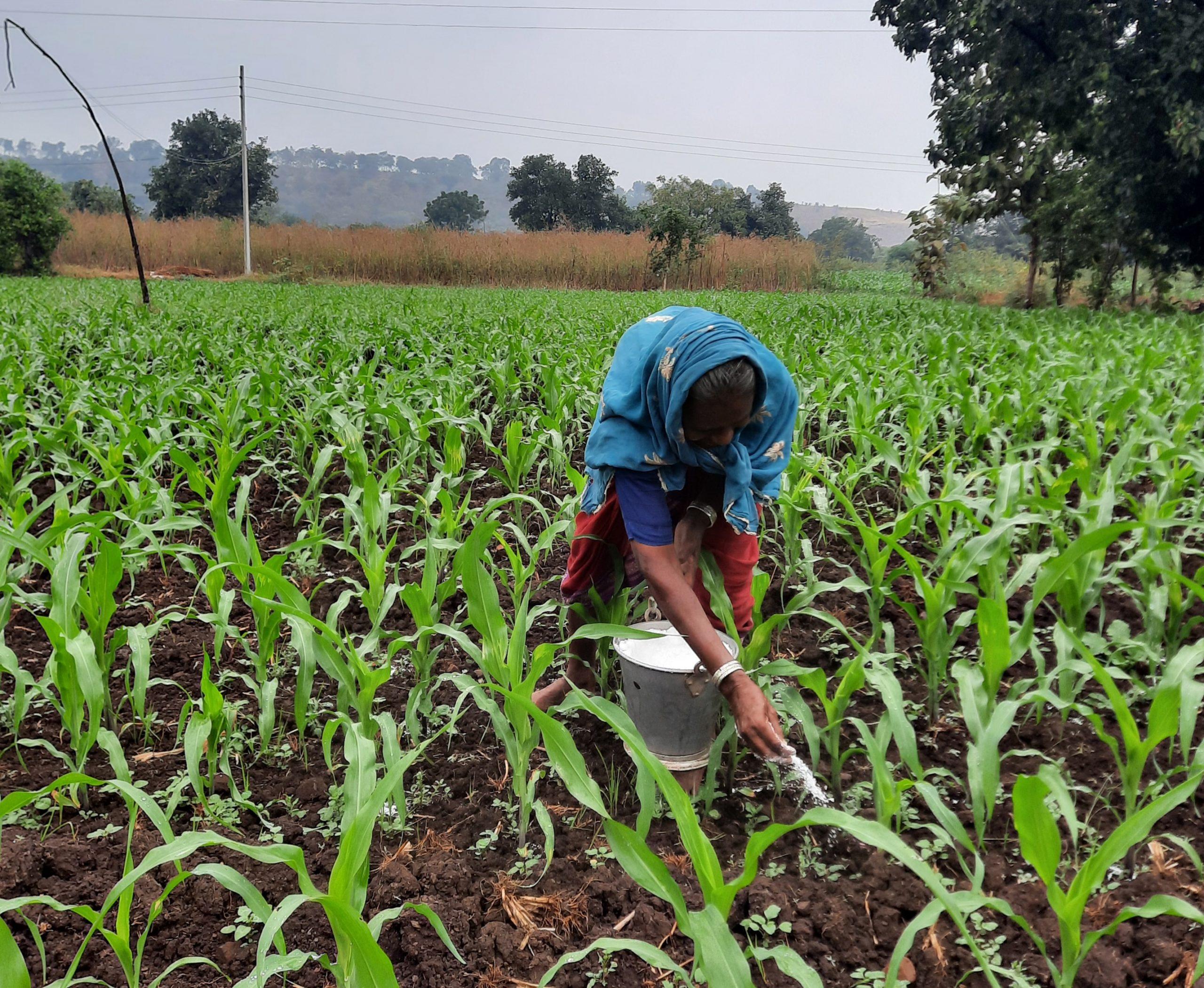 A farmer fertilizing maize plants