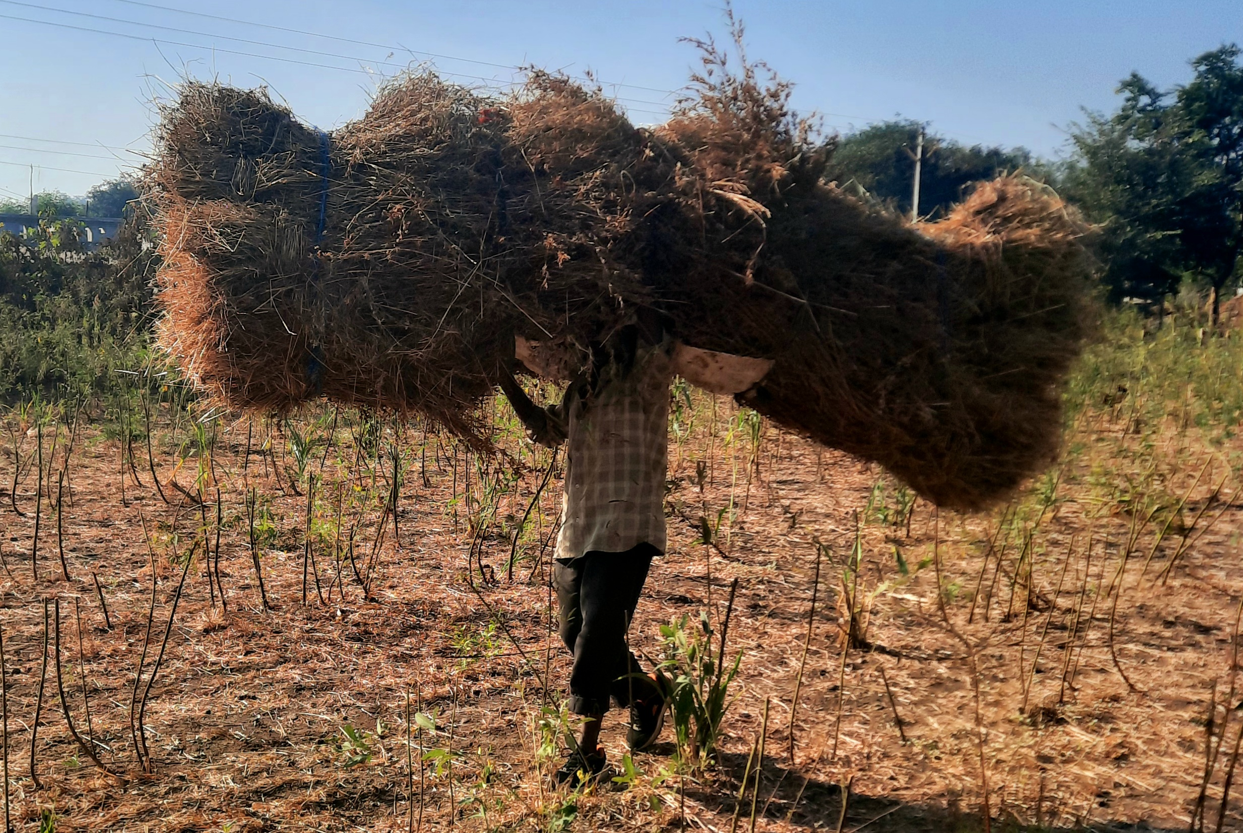 A farmer carrying dry grass