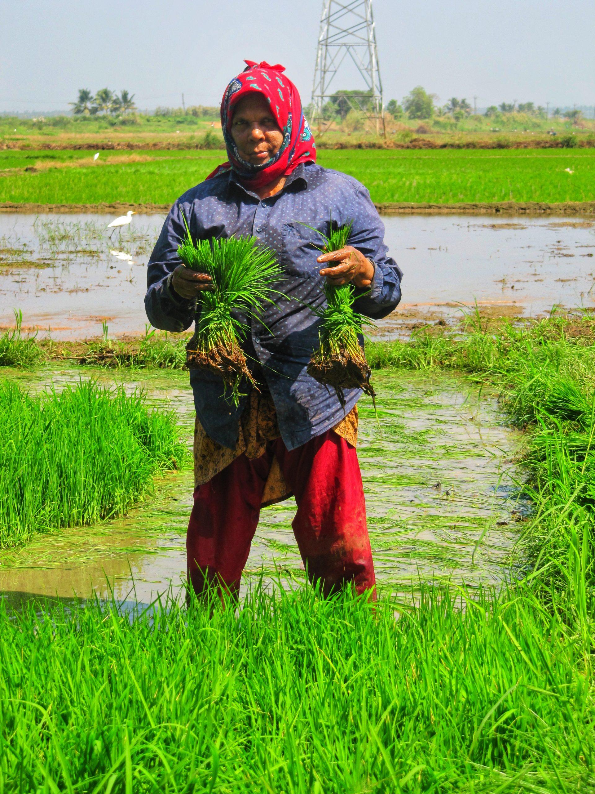 A farmer in a paddy field