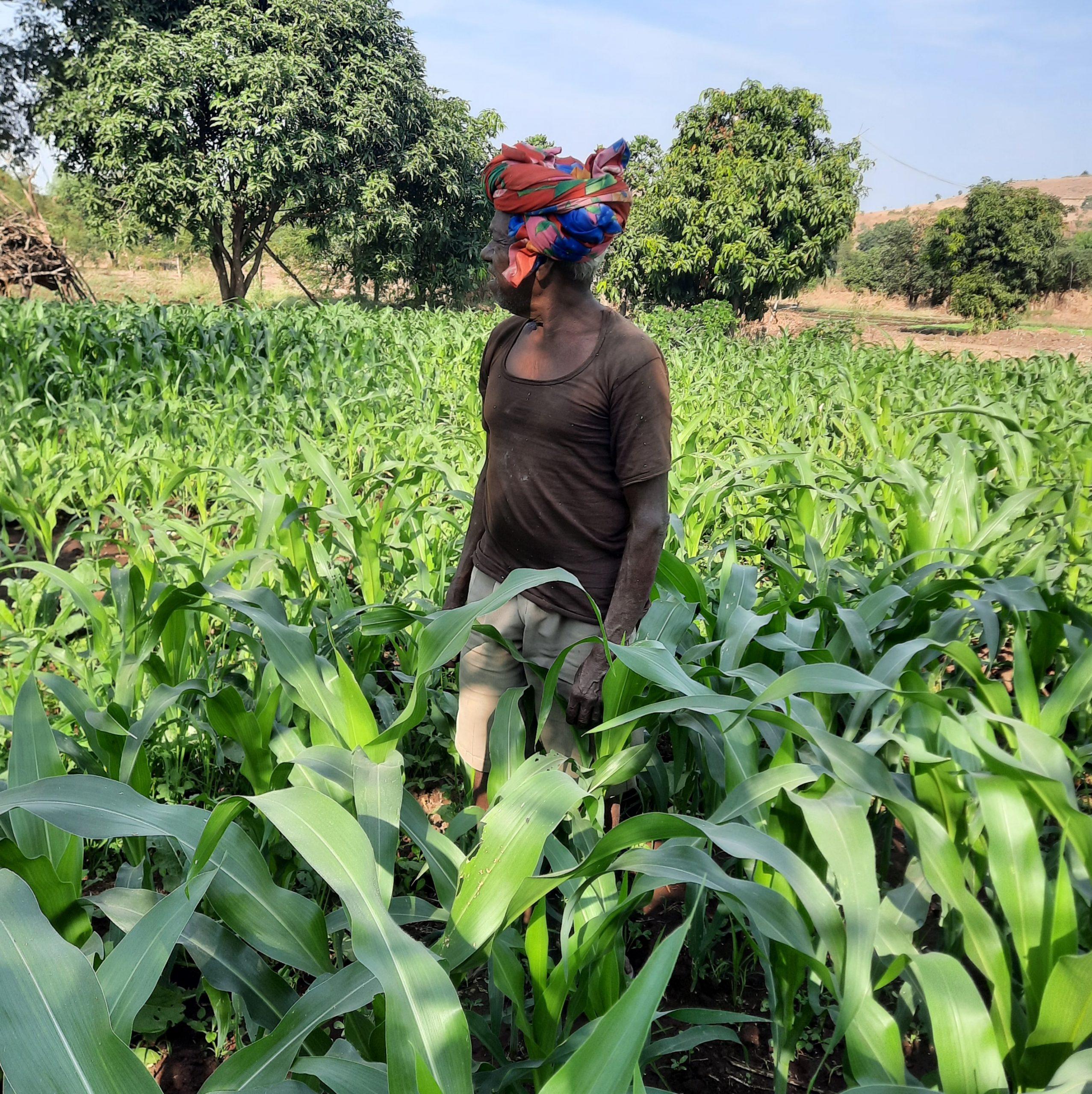 A farmer in maize plants