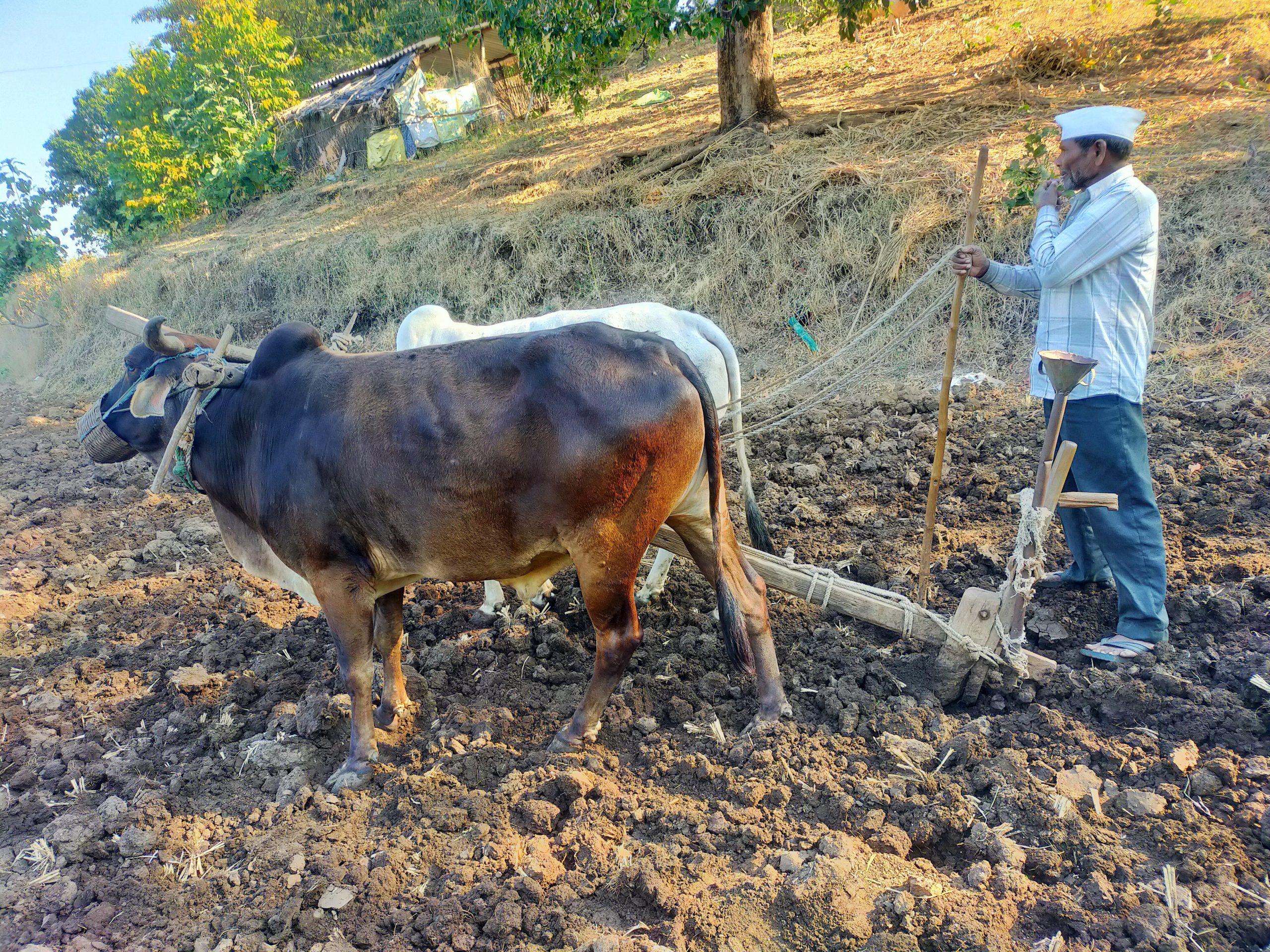 A farmer plough his land with oxen