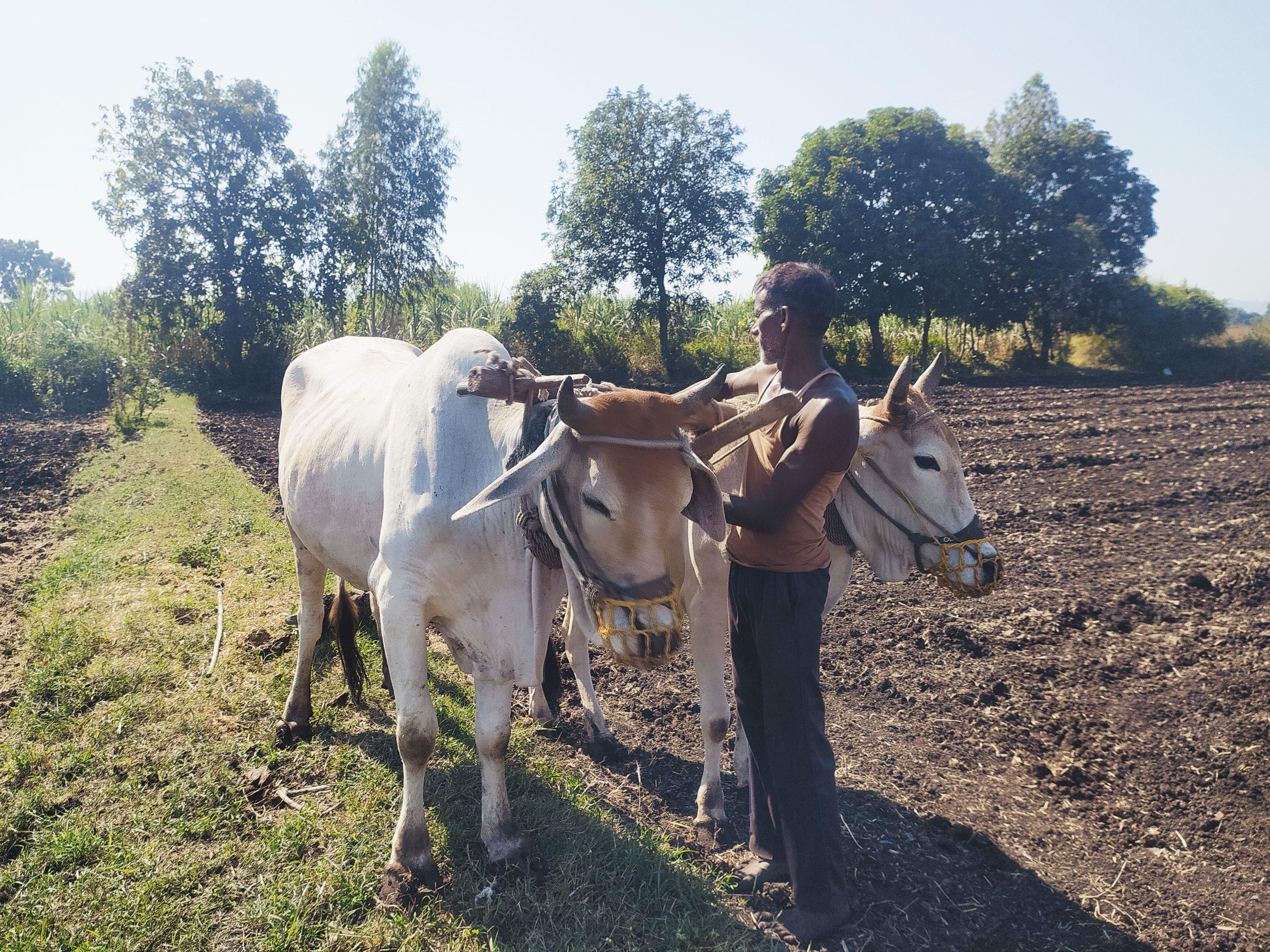 A farmer preparing his oxen