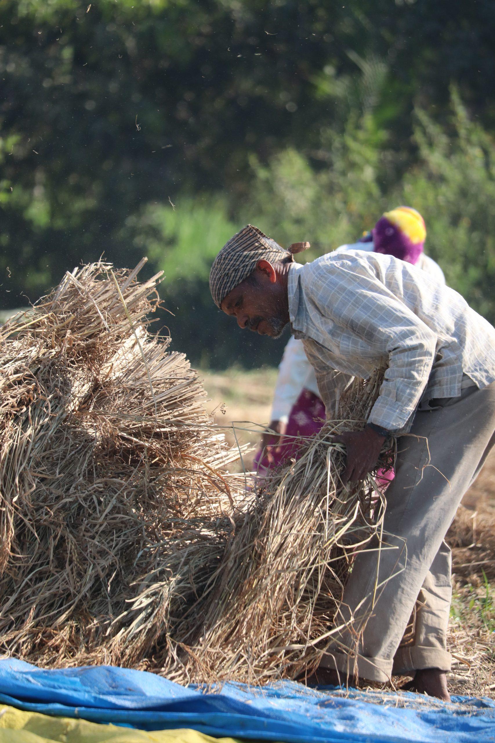 A farmer with rice plants bundle