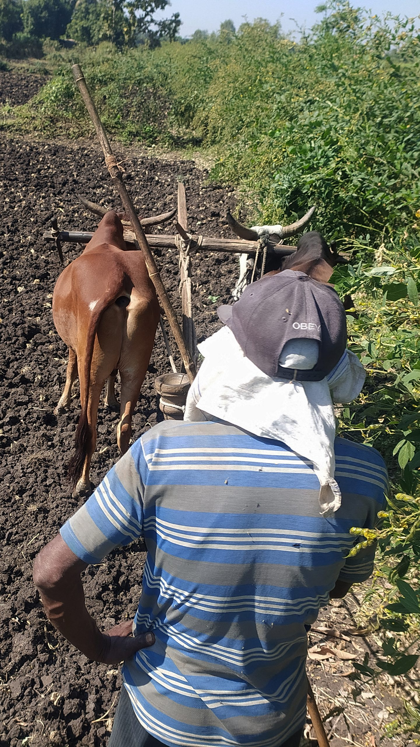 A farmer ploughing with bullocks