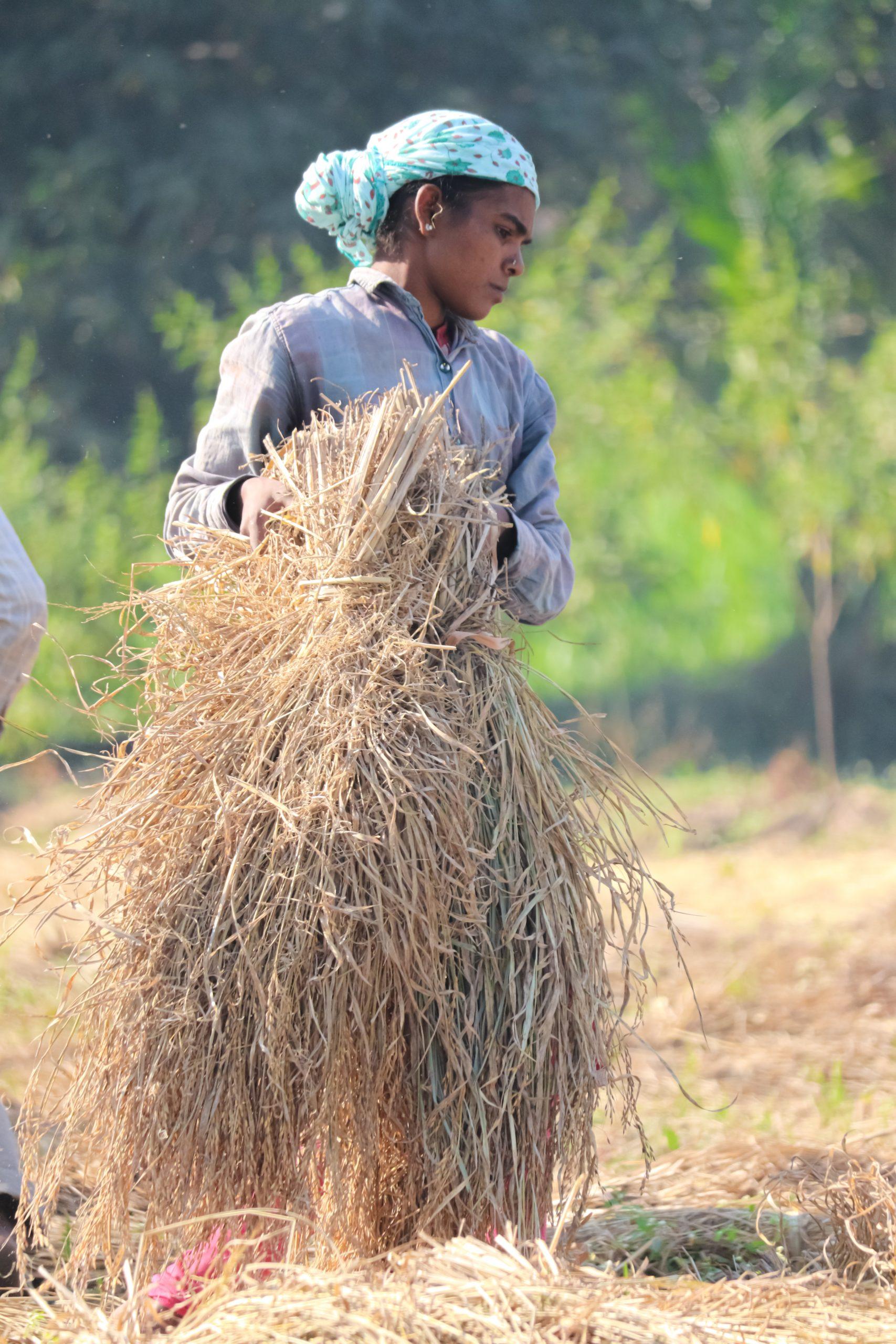 A farmer with dry rice plants