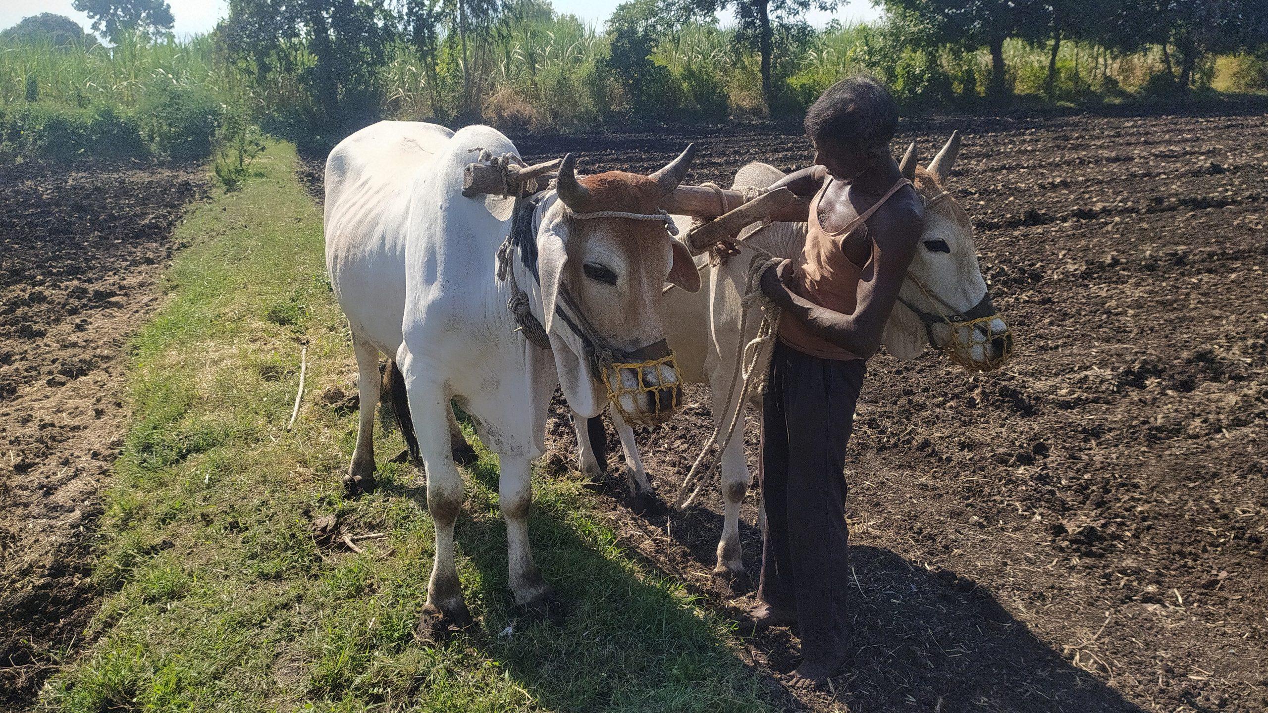 A farmer with oxen
