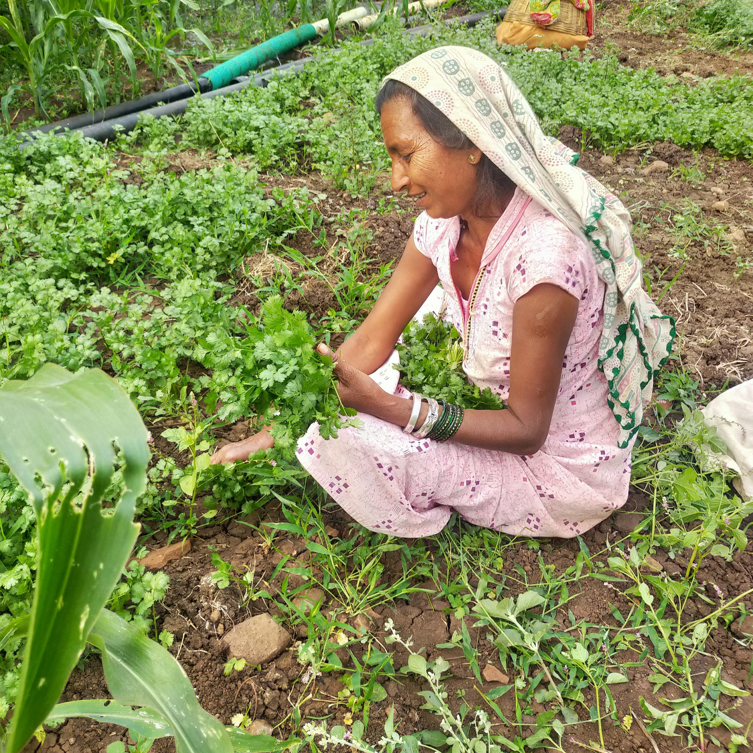 A lady farmer collecting coriander leaves