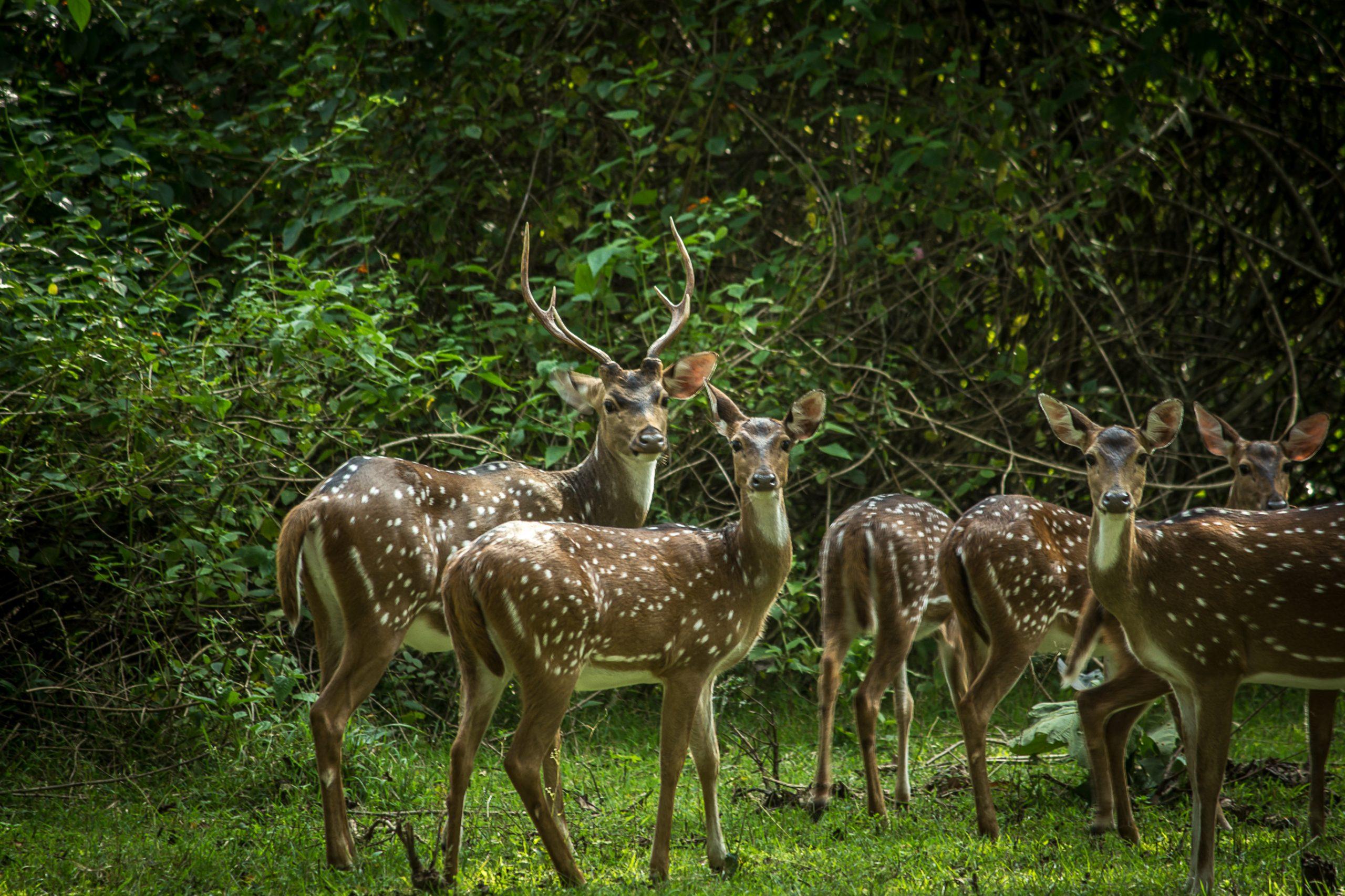 A herd of chital deers