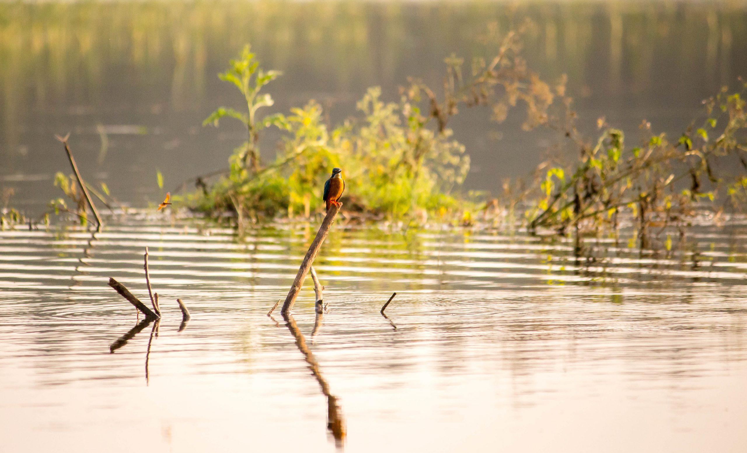 A kingfisher bird on a twig