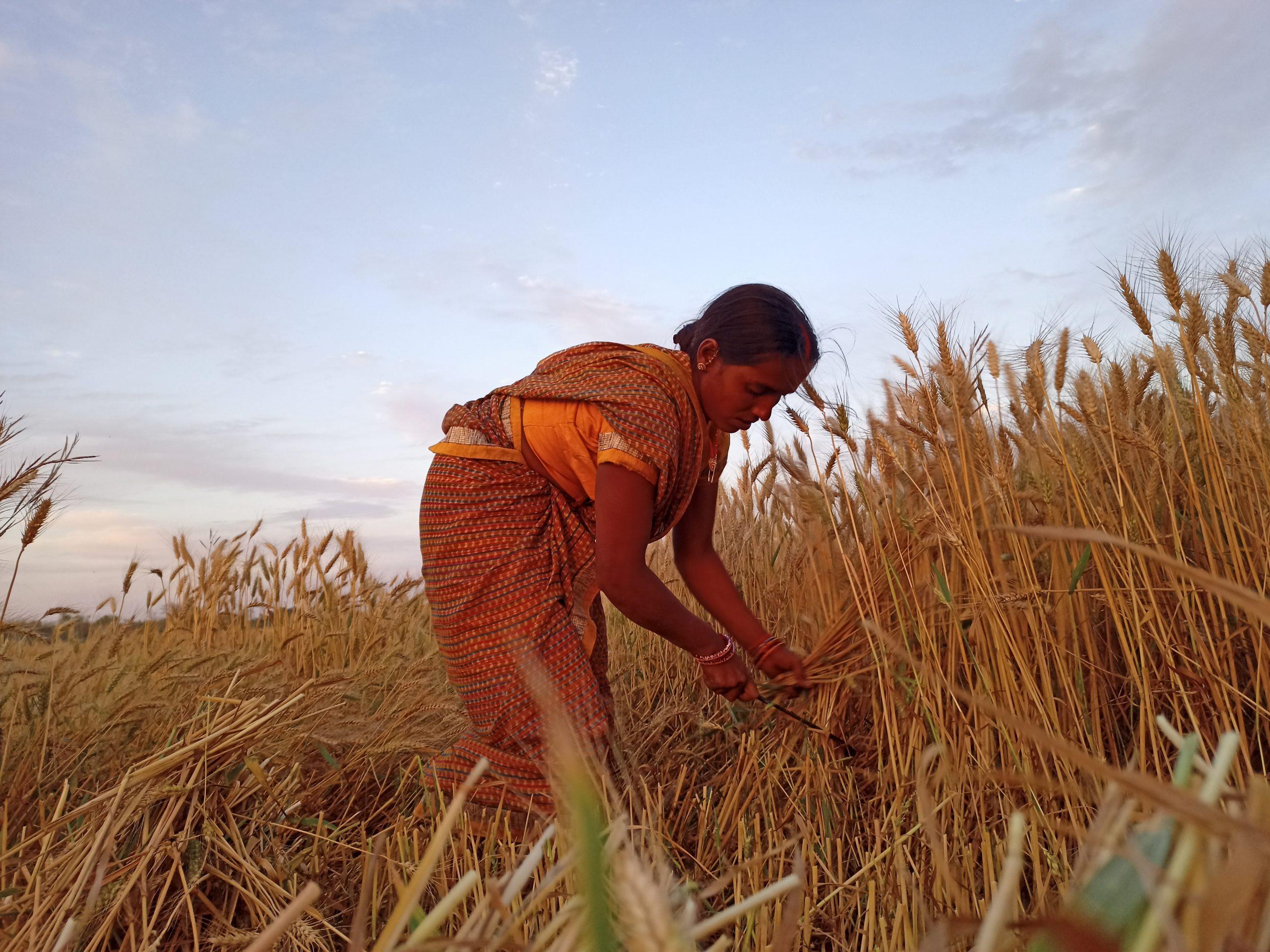 A lady farmer cutting wheat plants