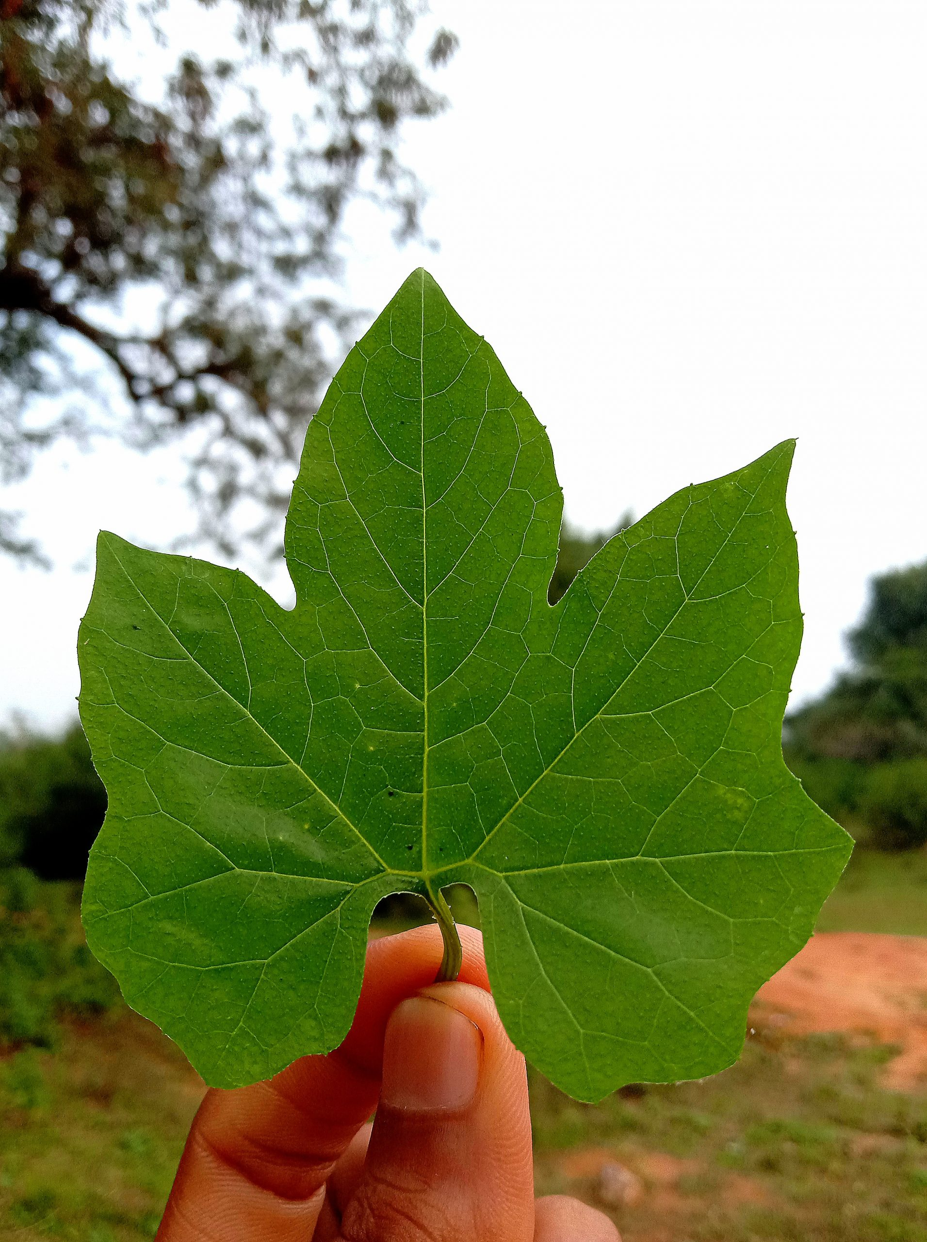 A leaves