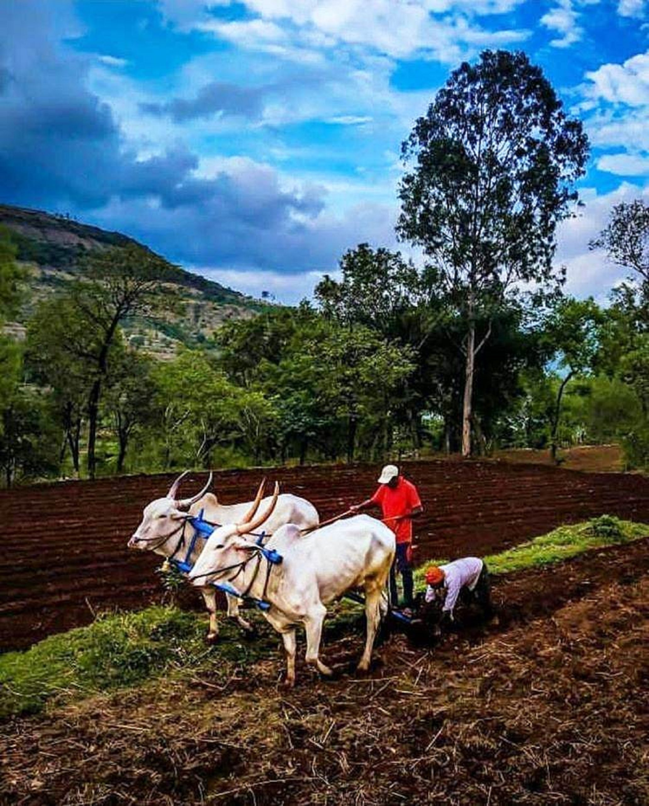 farmer with bullocks in the field