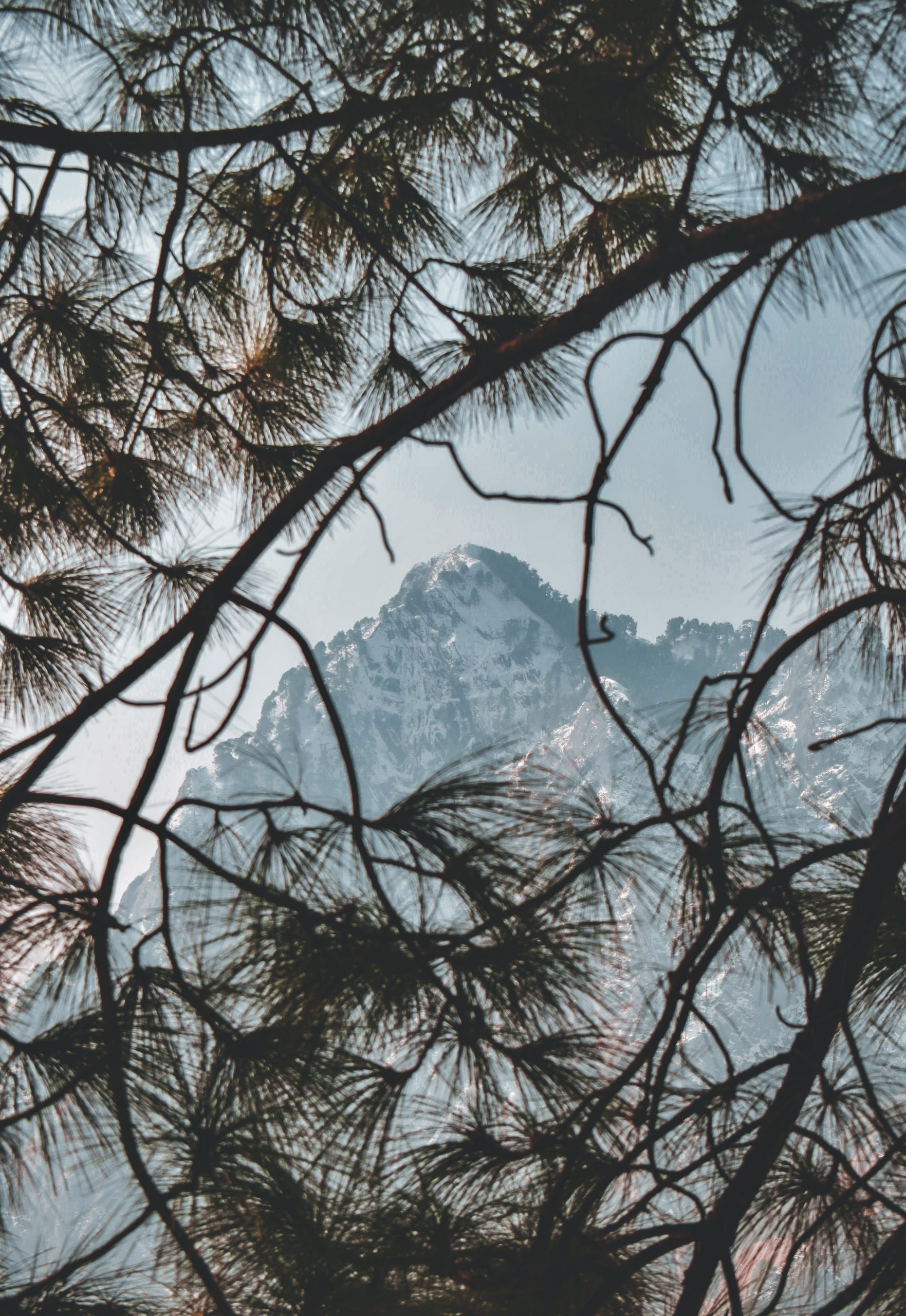 Mountain and pine tree branches