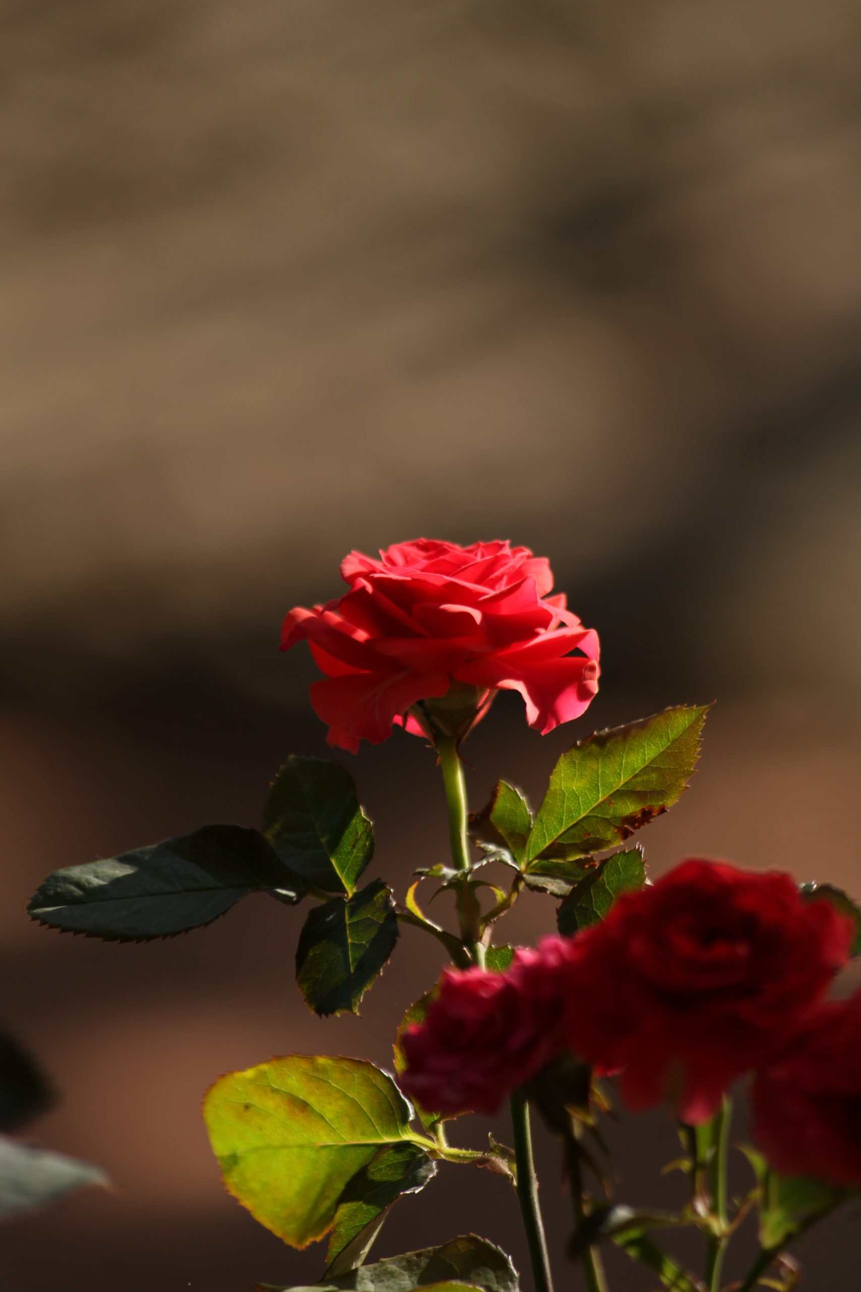 A red rose plant