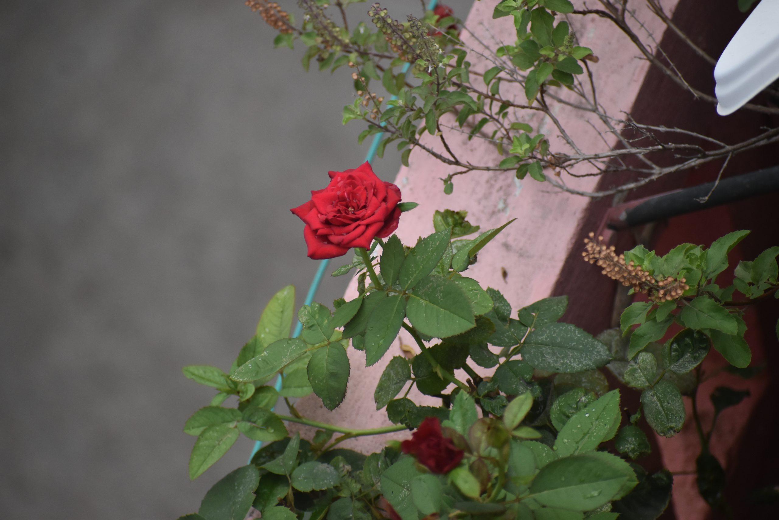 A rose plant