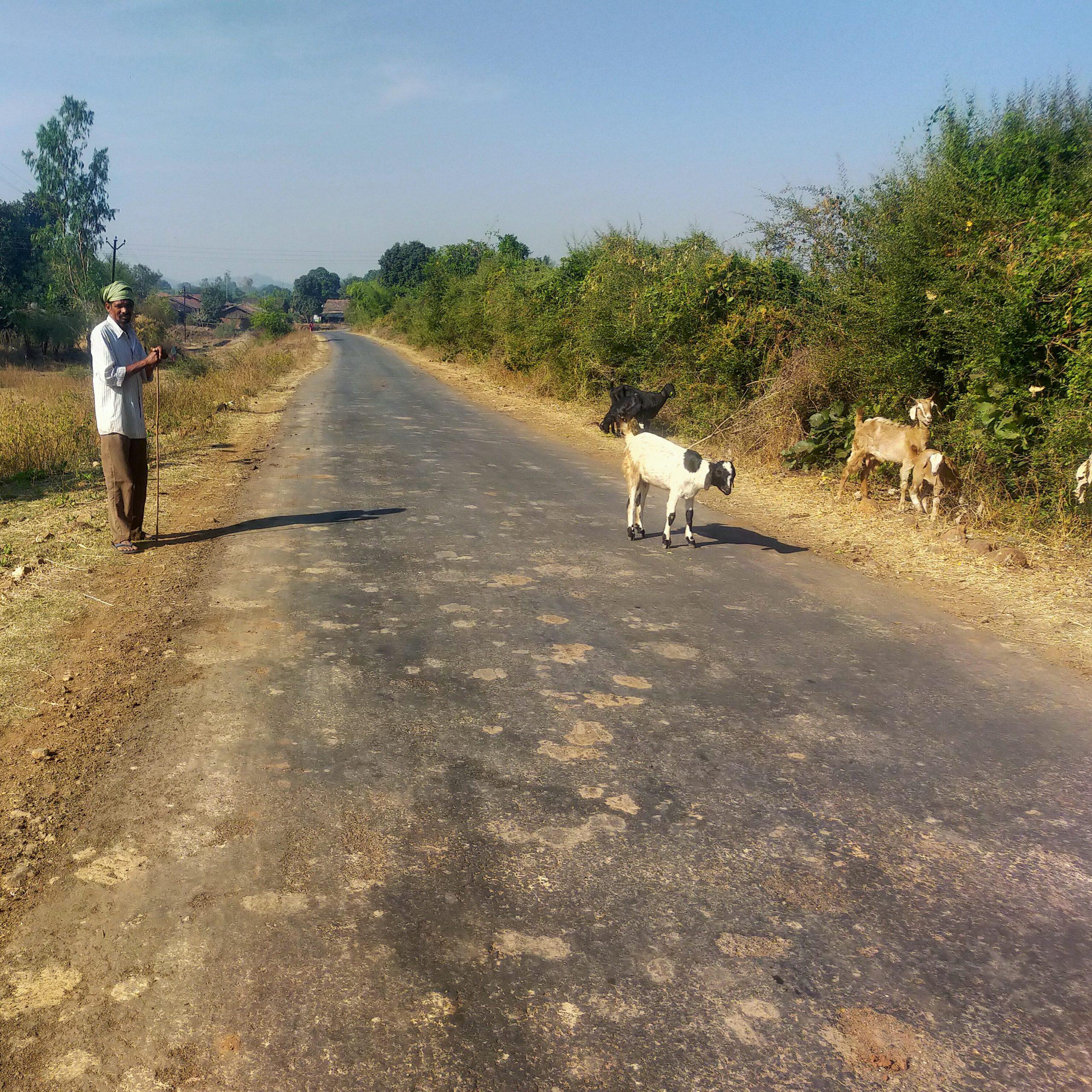 Man grazing goats roadside